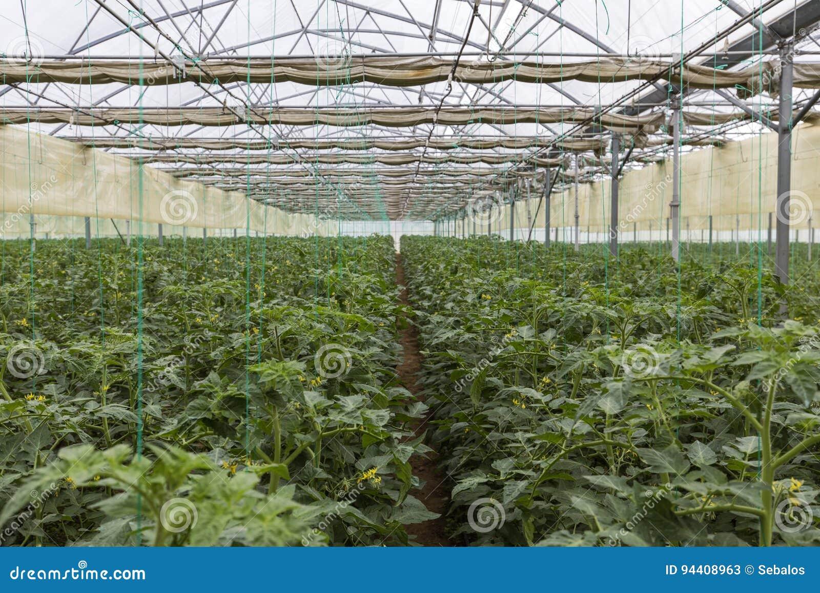 rang es des plantes de tomate levant la grande serre chaude industrielle int rieure photo stock. Black Bedroom Furniture Sets. Home Design Ideas