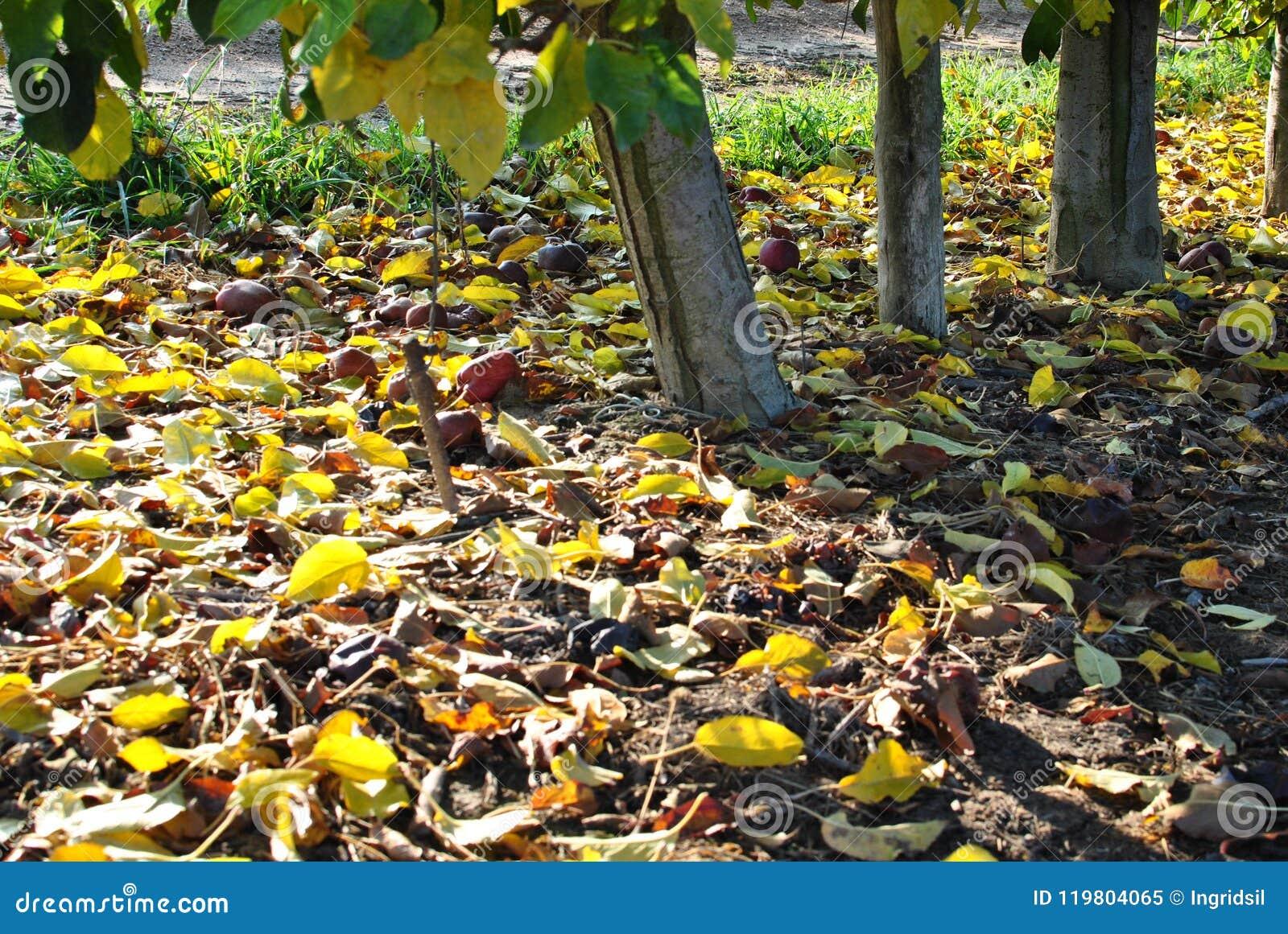 Rangées des poiriers au lever de soleil Automne Feuilles tombées de jaune