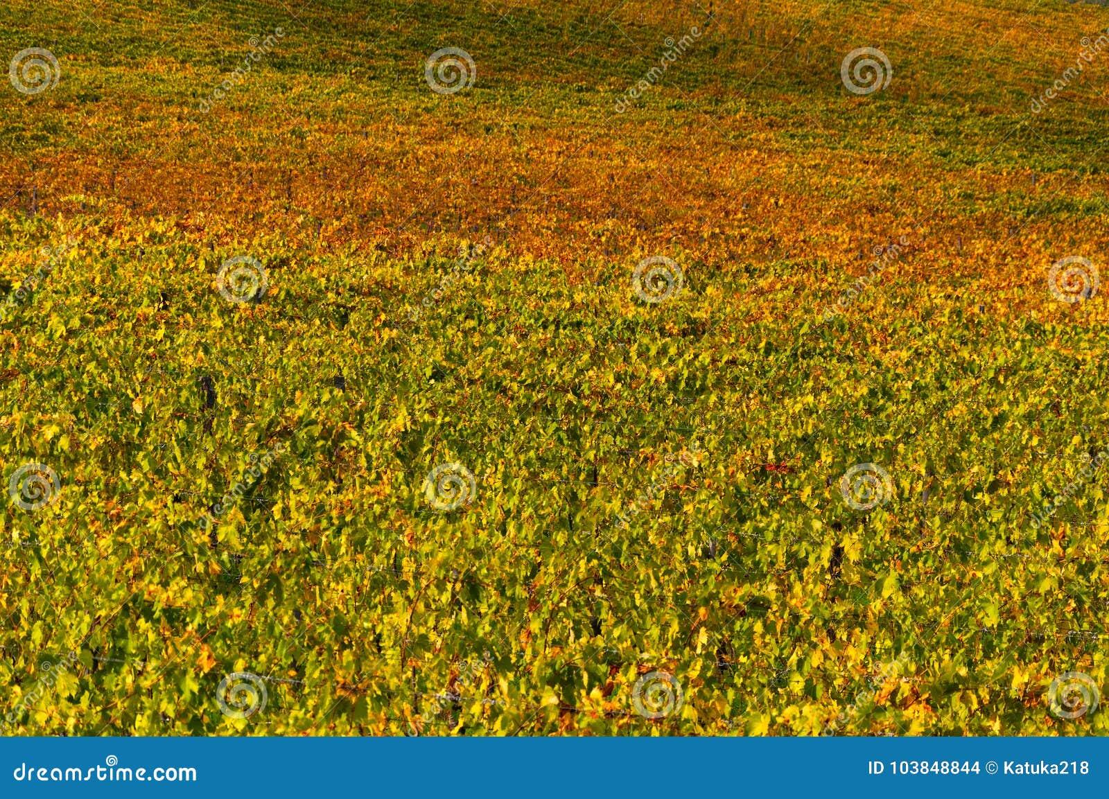 Rangées des vignes au vignoble en automne, chianti, Toscane, Italie