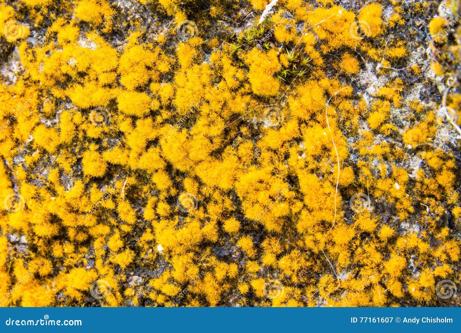 Rangiferina de Cladonia ou lichen de renne