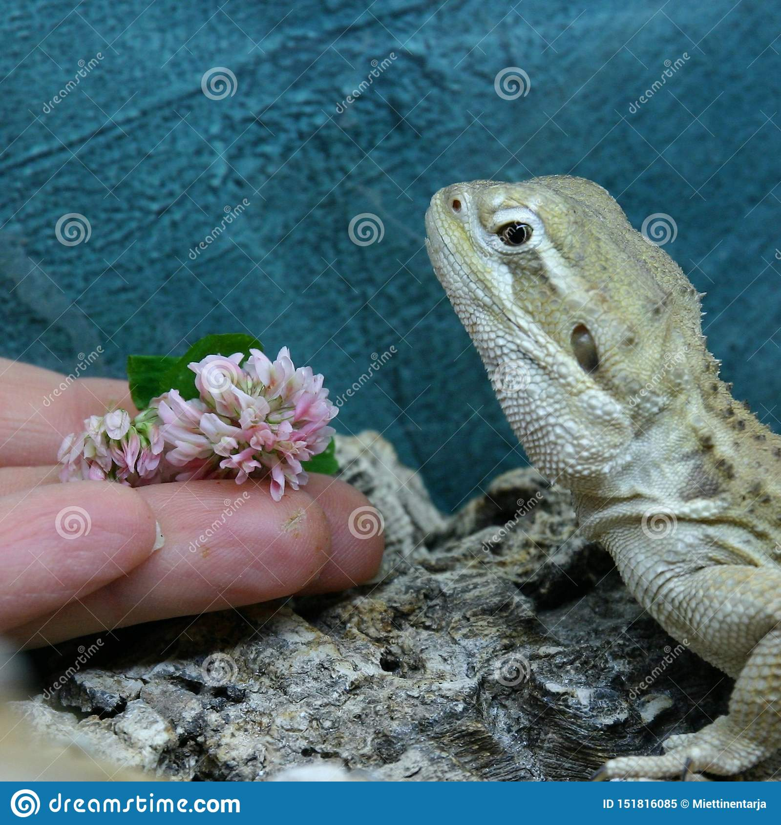 Rankin的龙不要吃一朵白三叶草花