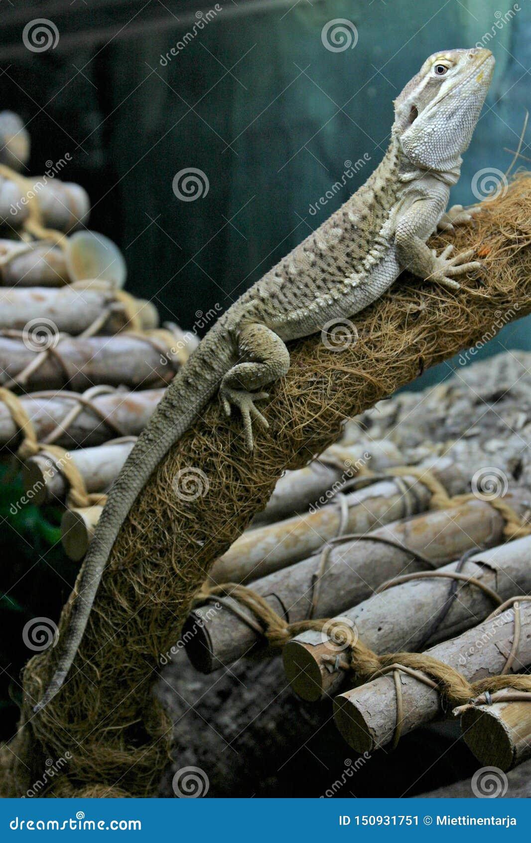 Rankin的龙蜥蜴基于在玻璃容器的一个分支
