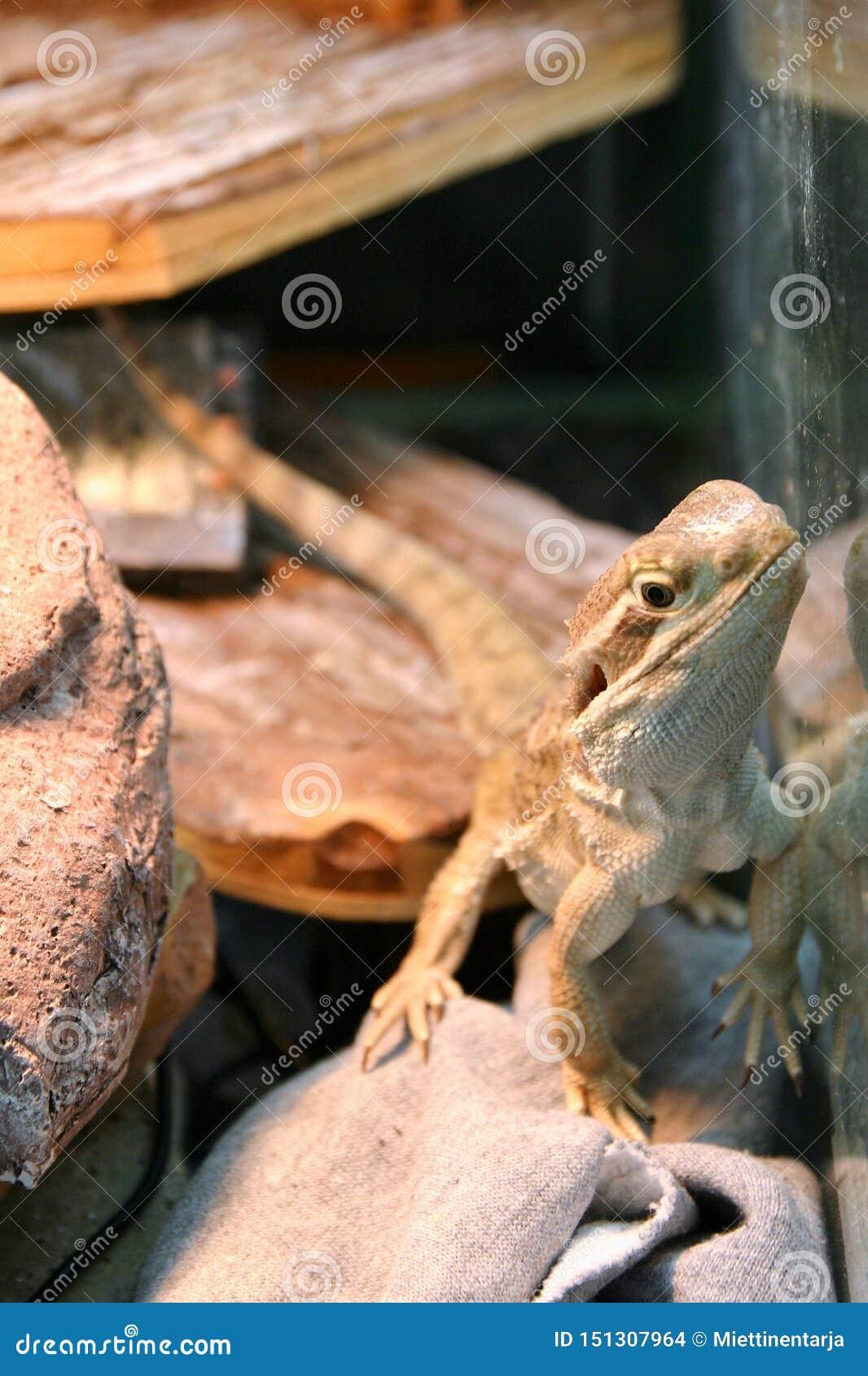 Rankin的龙蜥蜴是站立和观看照相机