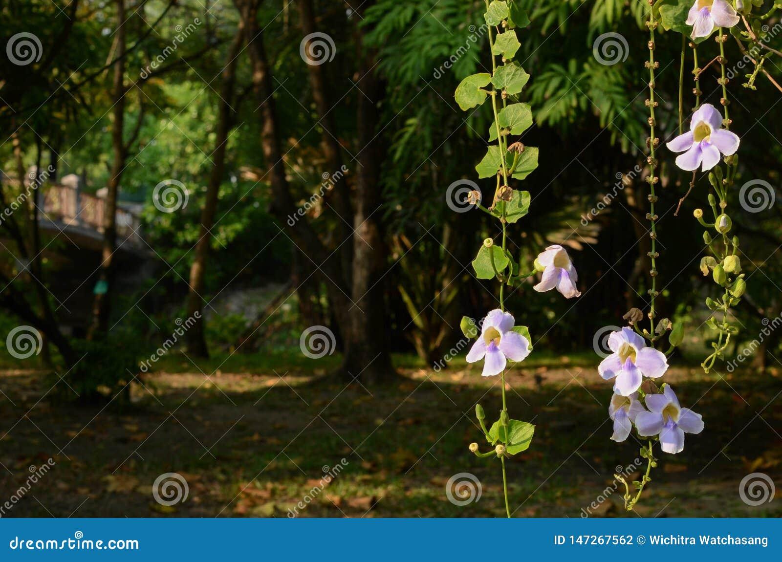Ranku lekki promień na Thunbergia grandiflora, piękny purpura kwiat z liśćmi zielenieje tło