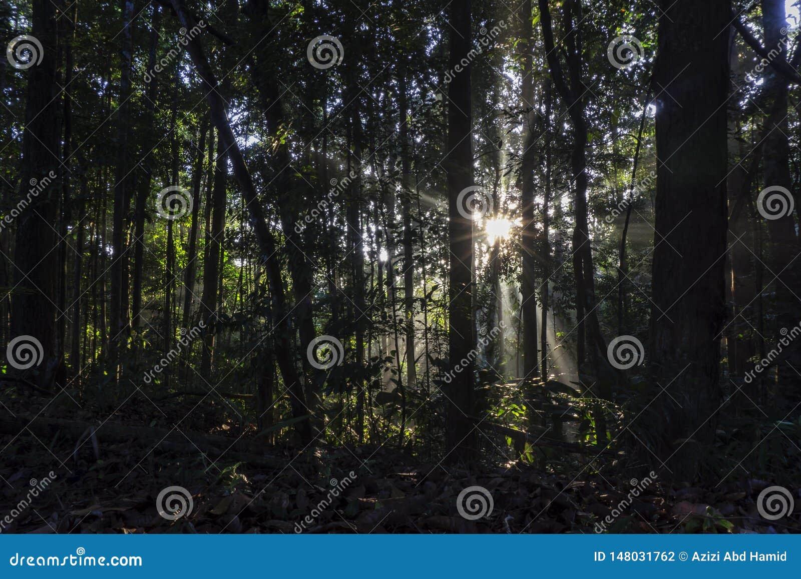 Ranku wschód słońca przechodzi przez lasu