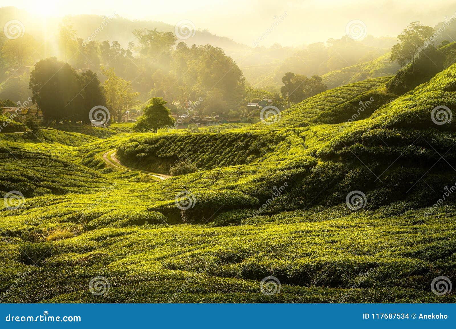 Ranku wschód słońca zielona herbata i drzewo i uprawiamy ziemię