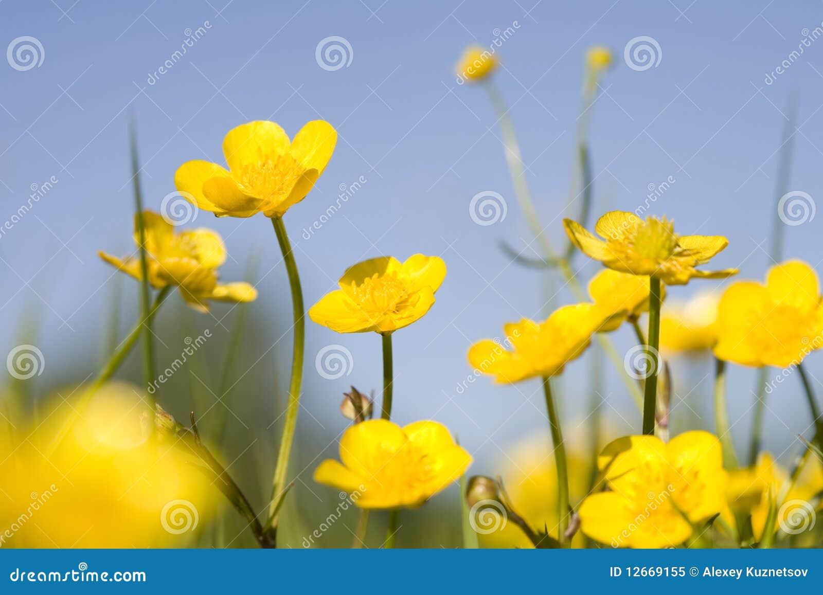 Ranuncoli gialli