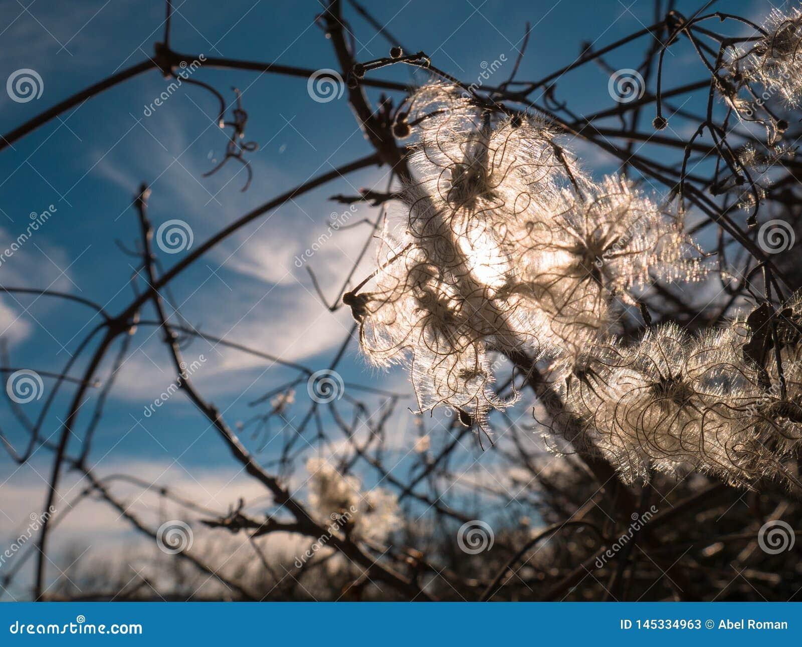 Ranunculaceas de vitalba de clématite, arbuste s élevant avec embranché
