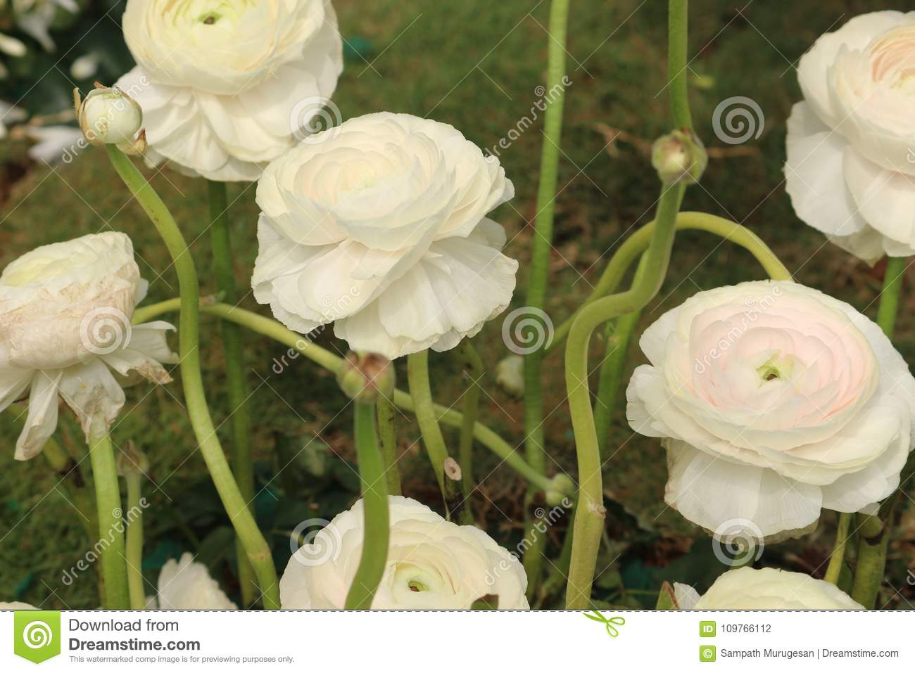 Ranunculus asiaticus white flowers with tightly clustered petals download ranunculus asiaticus white flowers with tightly clustered petals stock photo image of group mightylinksfo