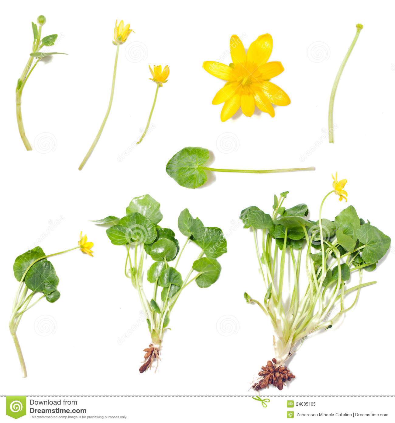Ranunculus Ficaria (Lesser Celandine) Royalty Free Stock Photo - Image ...
