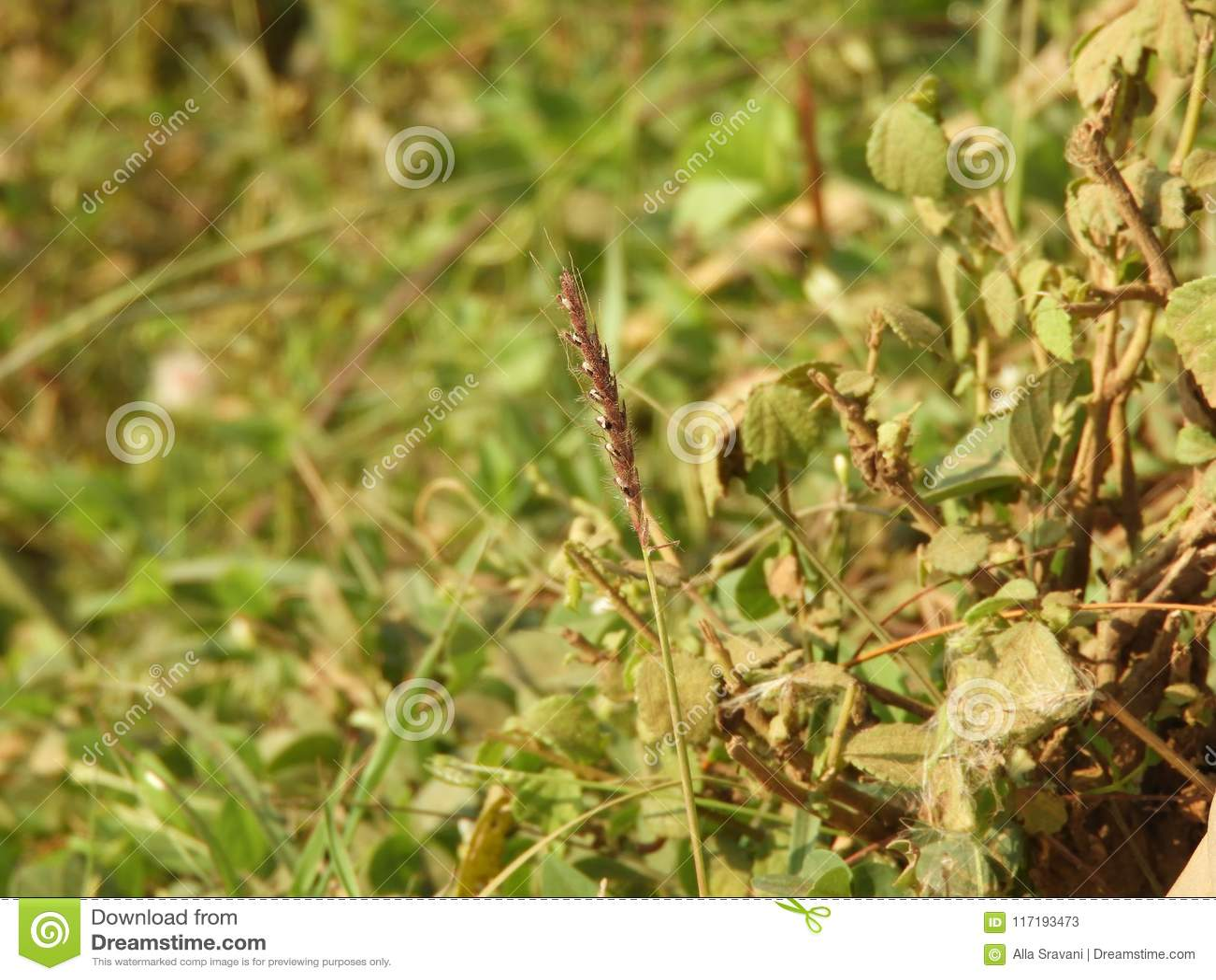 Ranunkelgräs