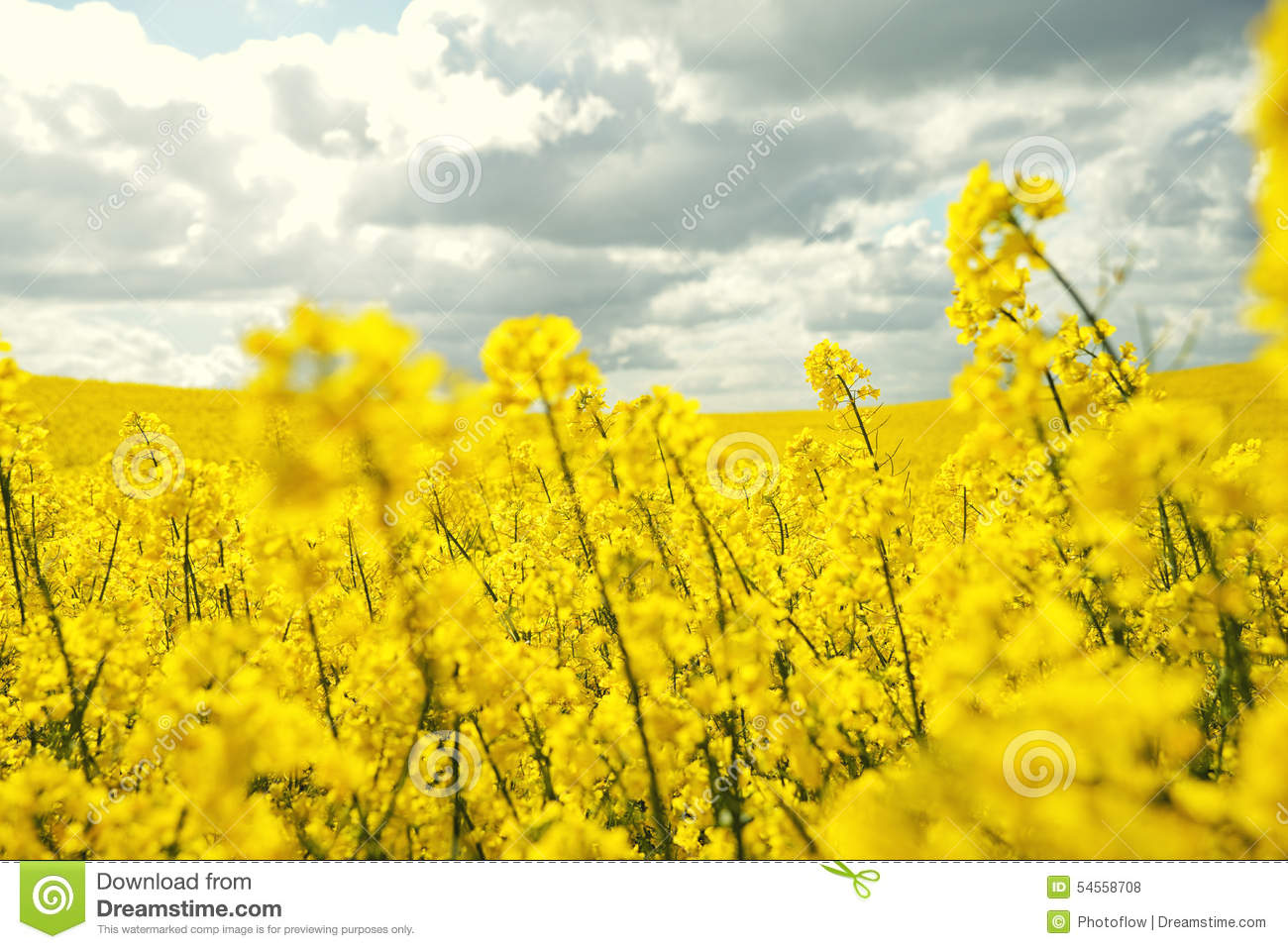 Field canola crops on dramatic sky stock photo image of ground download field canola crops on dramatic sky stock photo image of ground energy mightylinksfo