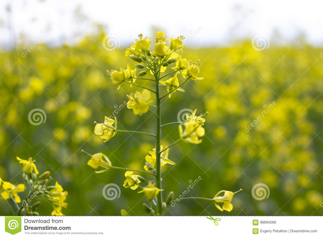 Rapeseed Field Blooming Canola Flowers Close Up Bright Yellow