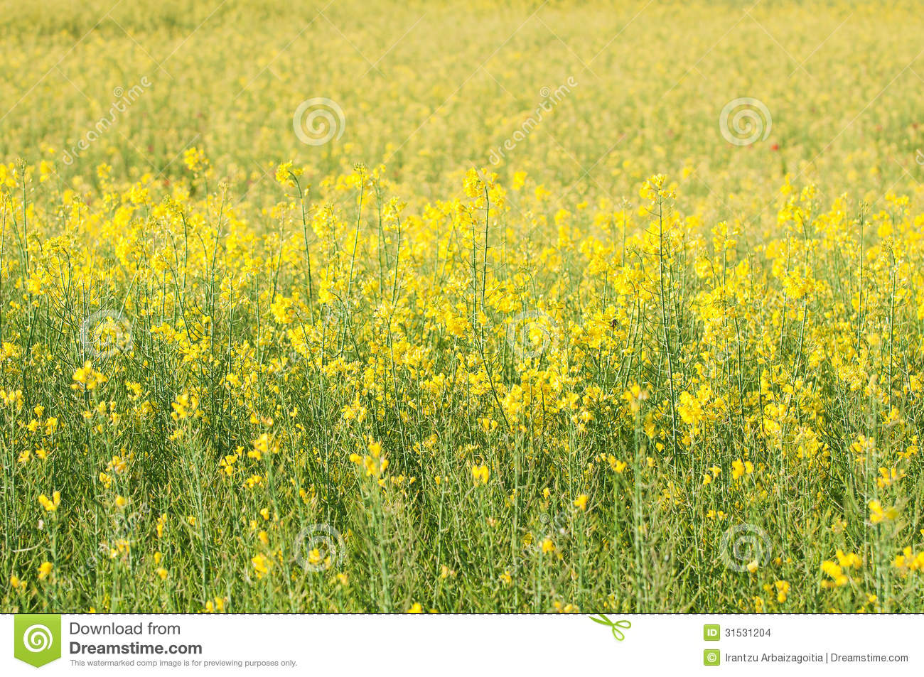 Rapeseed field full of yellow flowers stock photo image of rapeseed field full of yellow flowers mightylinksfo Images