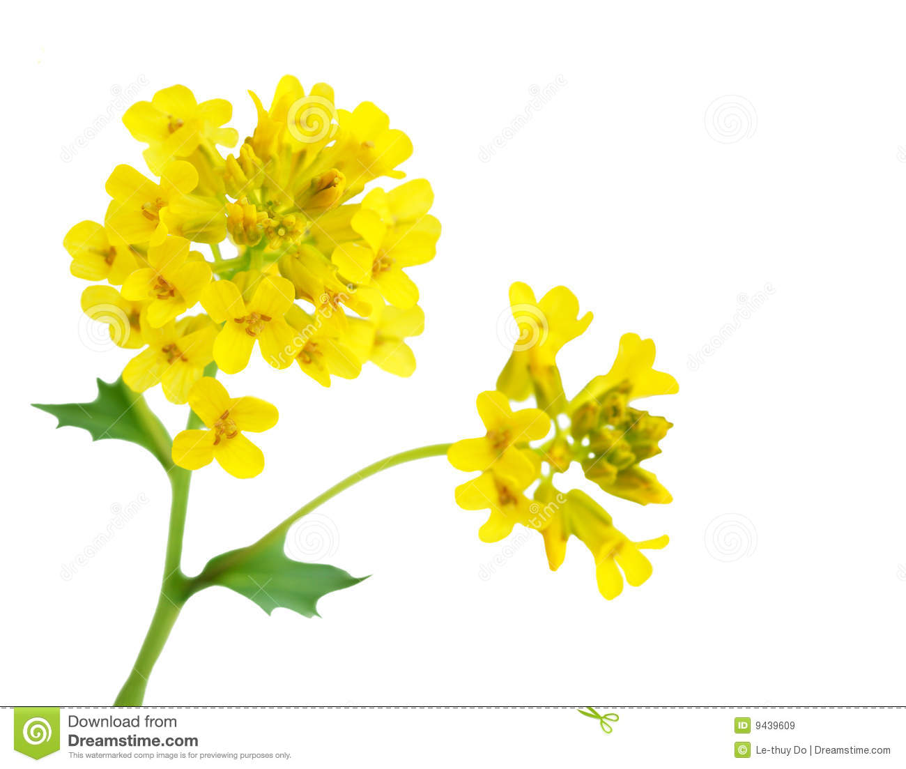 Rapeseed Flower Royalty Free Stock Images Image 9439609