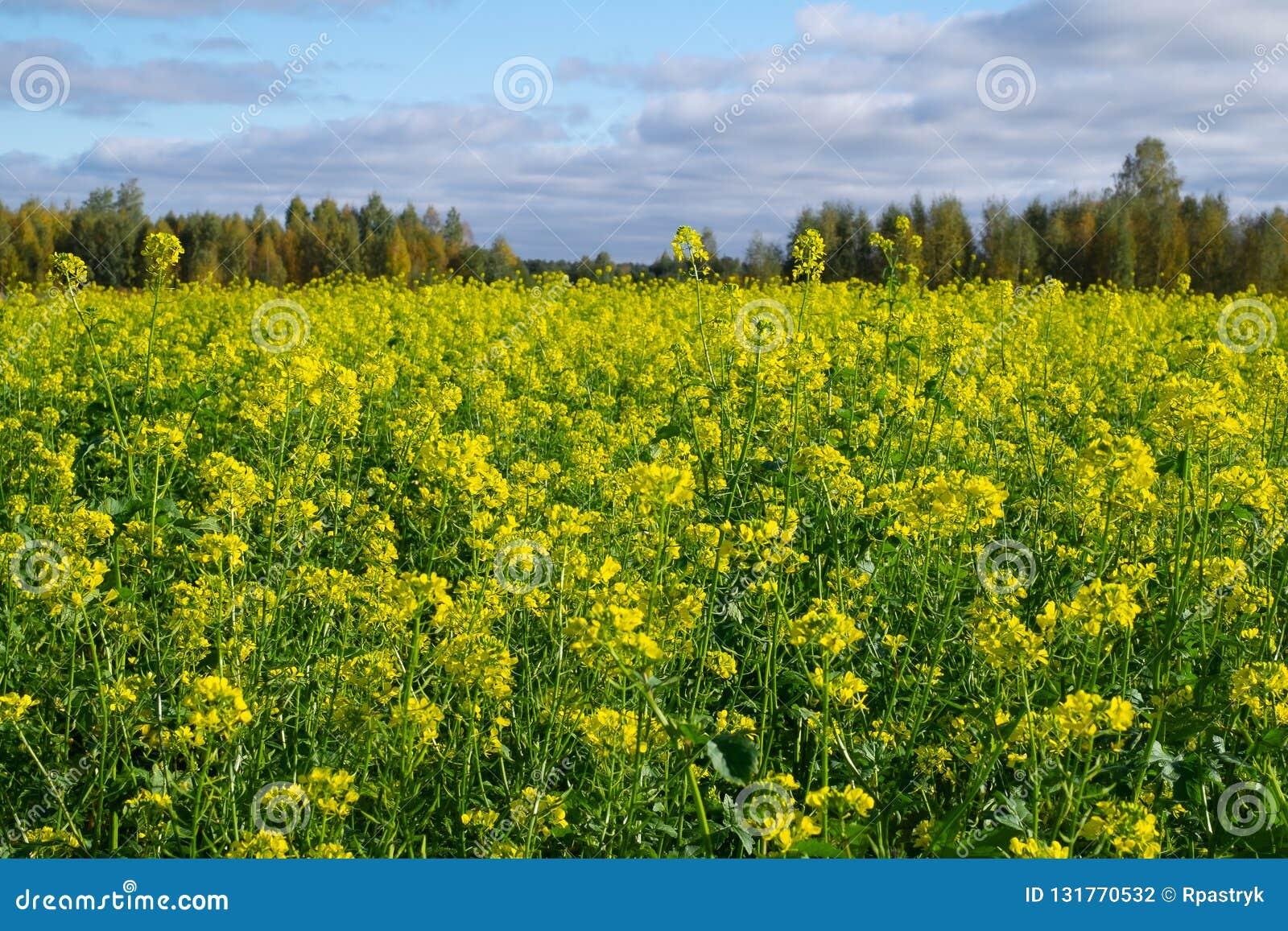 Rapeseed koloru żółtego pole w Polska niebieskim niebie