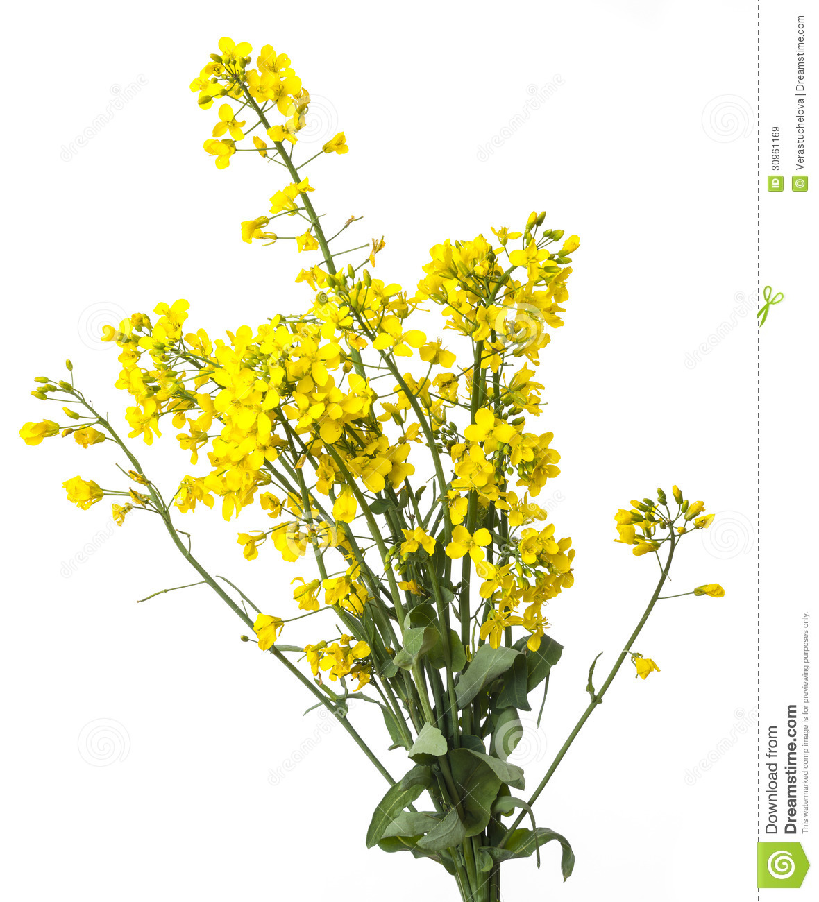 rapeseed plant royalty free stock images image 30961169