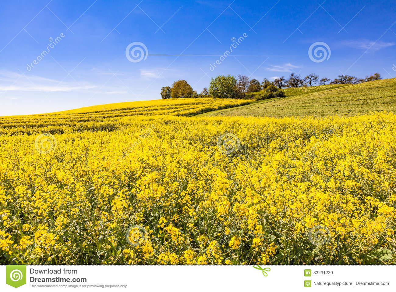 Download Rapeseed stock photo. Image of beautiful, farmland, green - 83231230