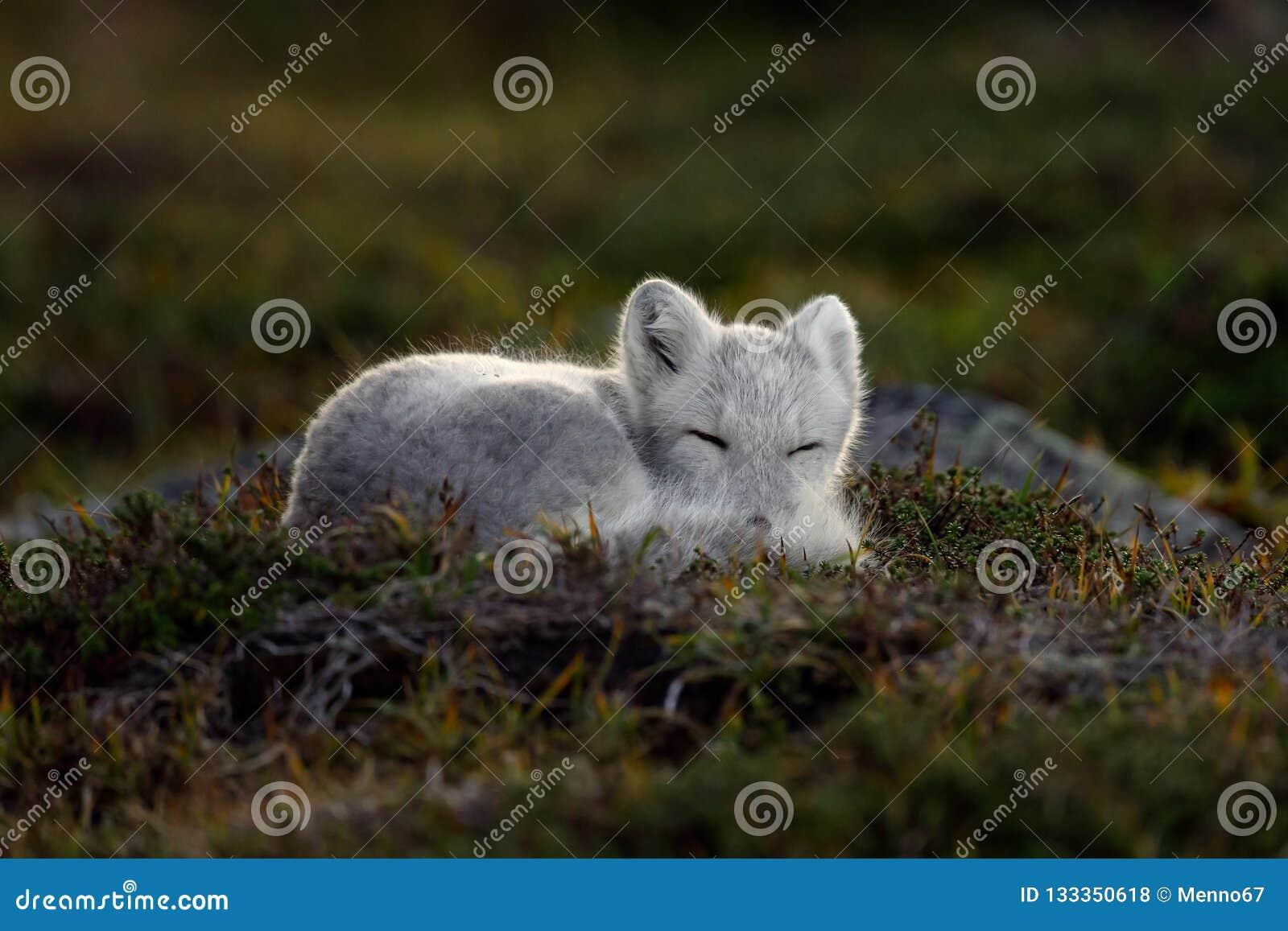 Raposa ártica em uma paisagem do outono