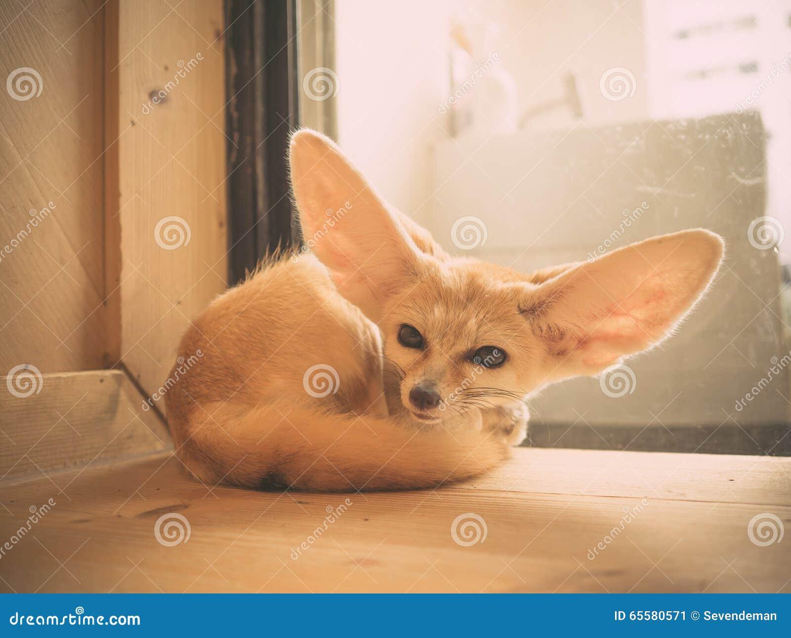 Raposa de Fennec como um animal de estimação