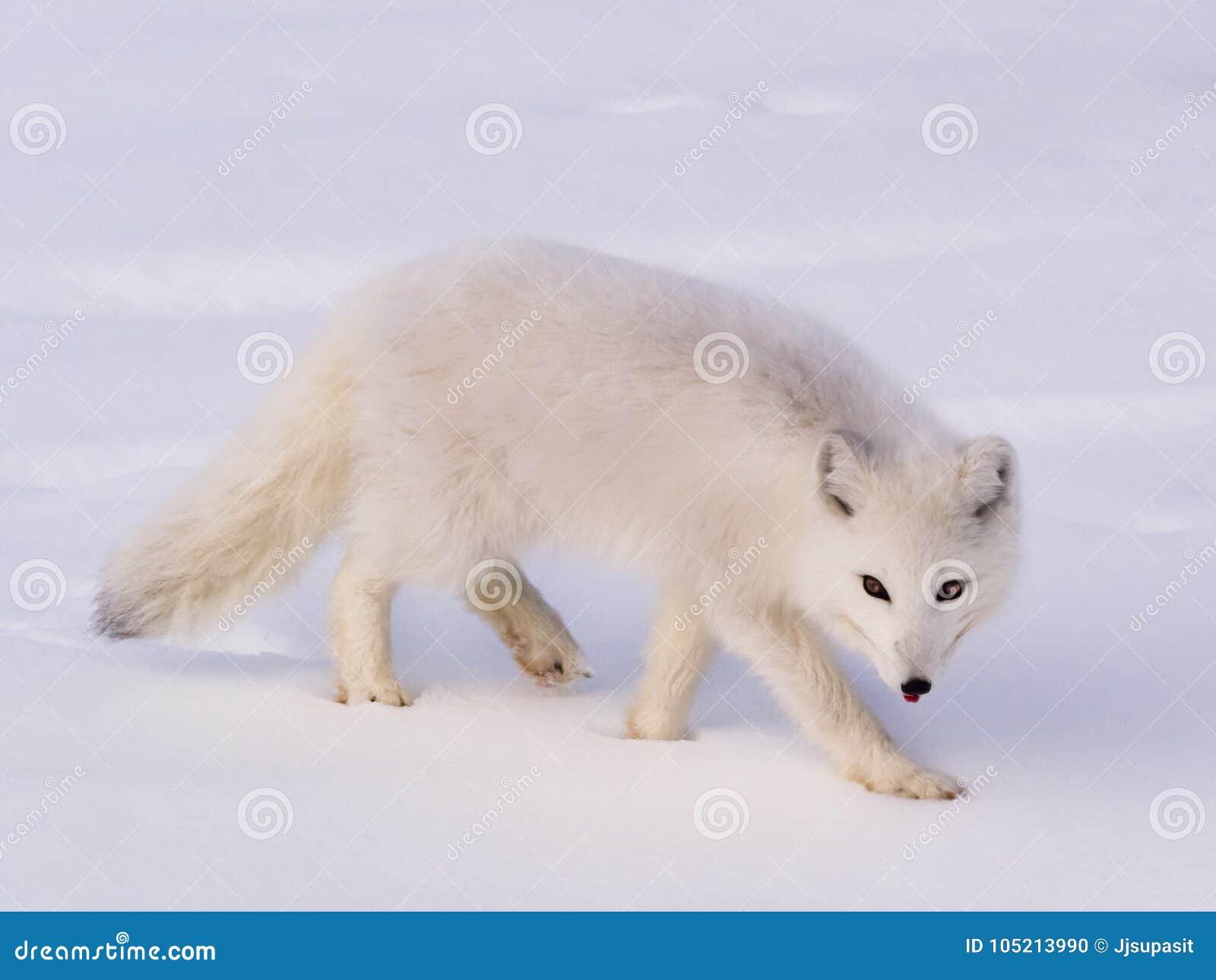 Raposa polar ártica