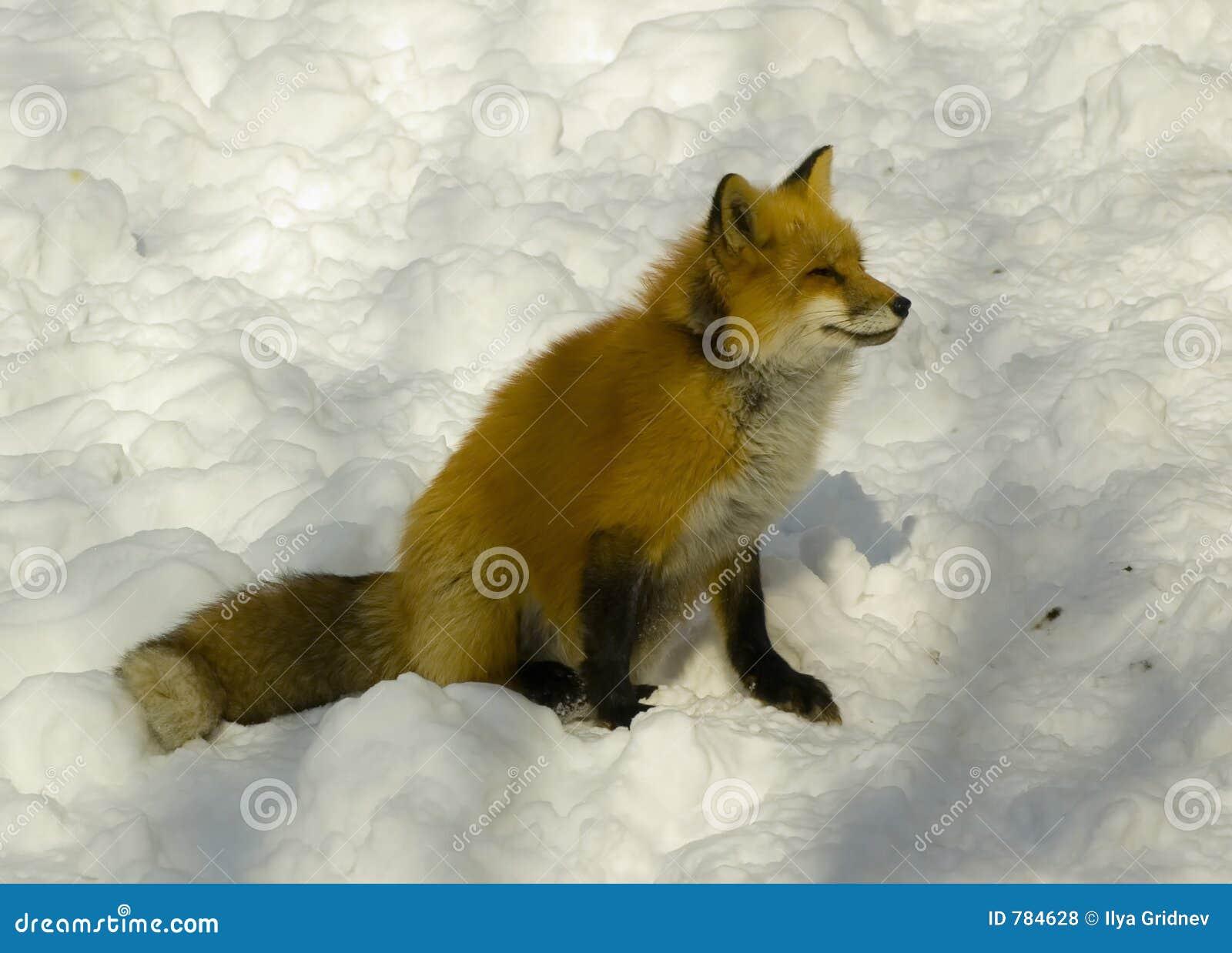 Raposa vermelha no inverno