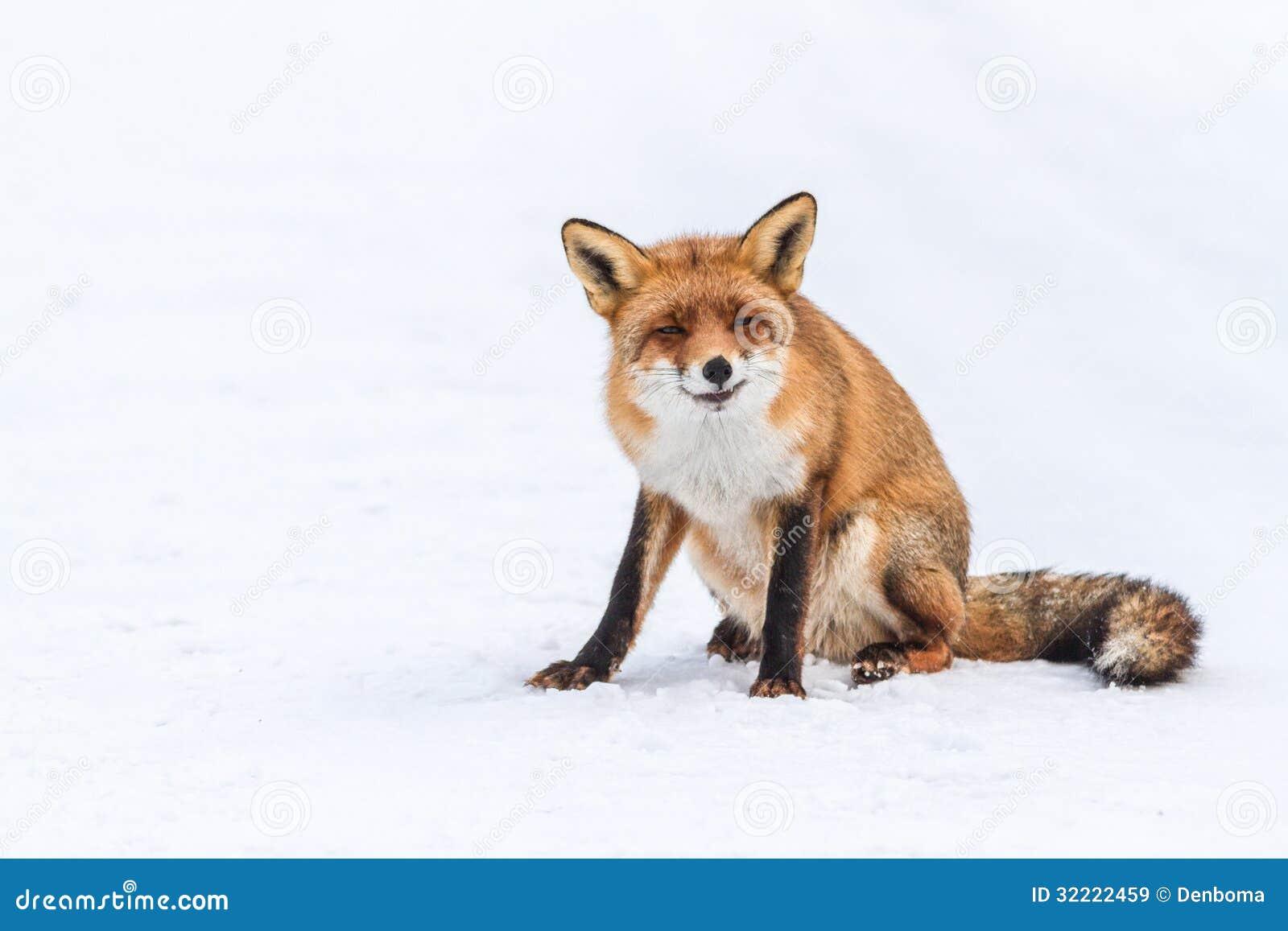40708f8de08 O Fox é um nome comum para muitas espécies de mamíferos onívoros alertas  que pertencem à família do Canidae