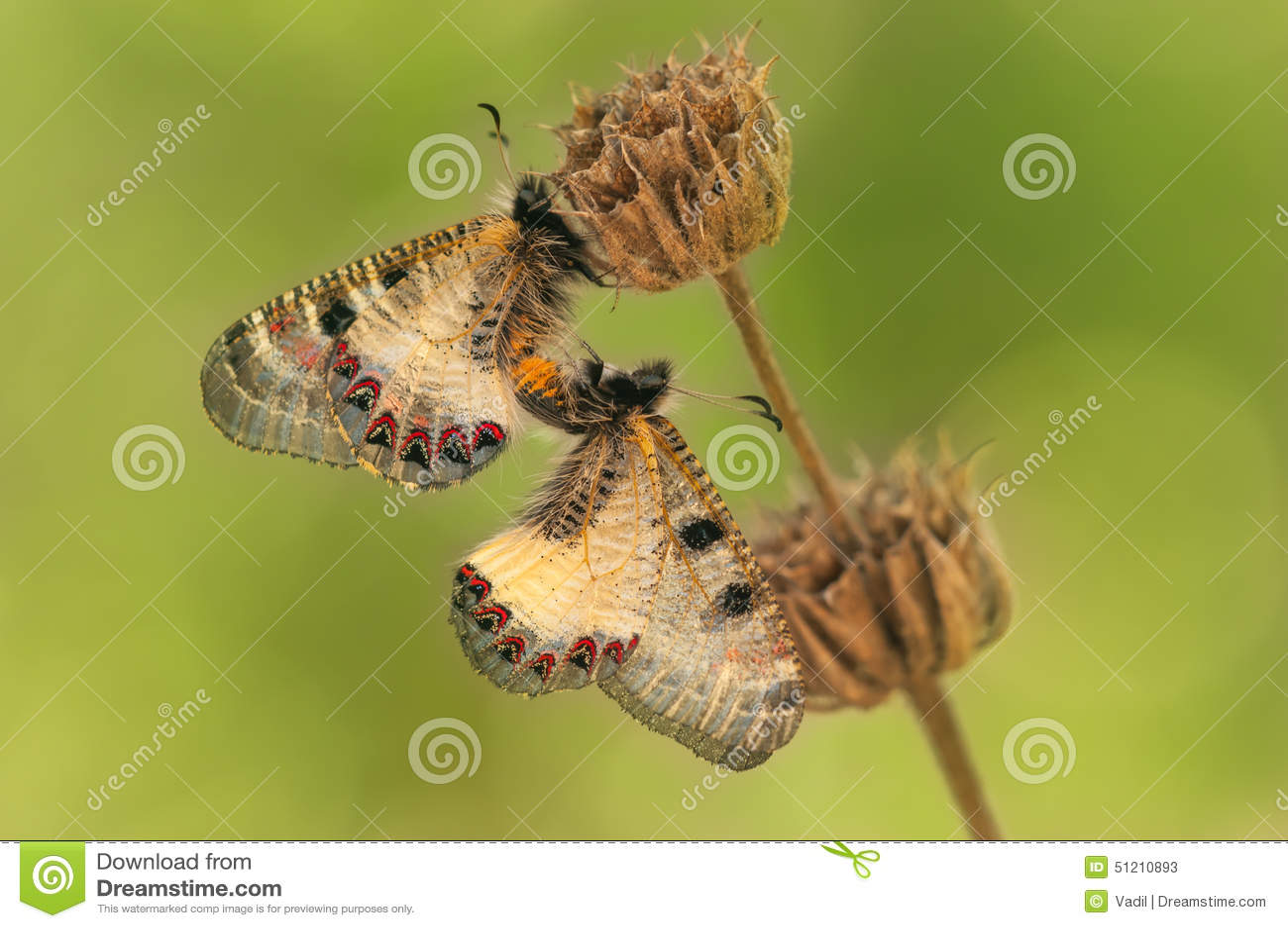 Comment les papillons ont des rapports sexuels