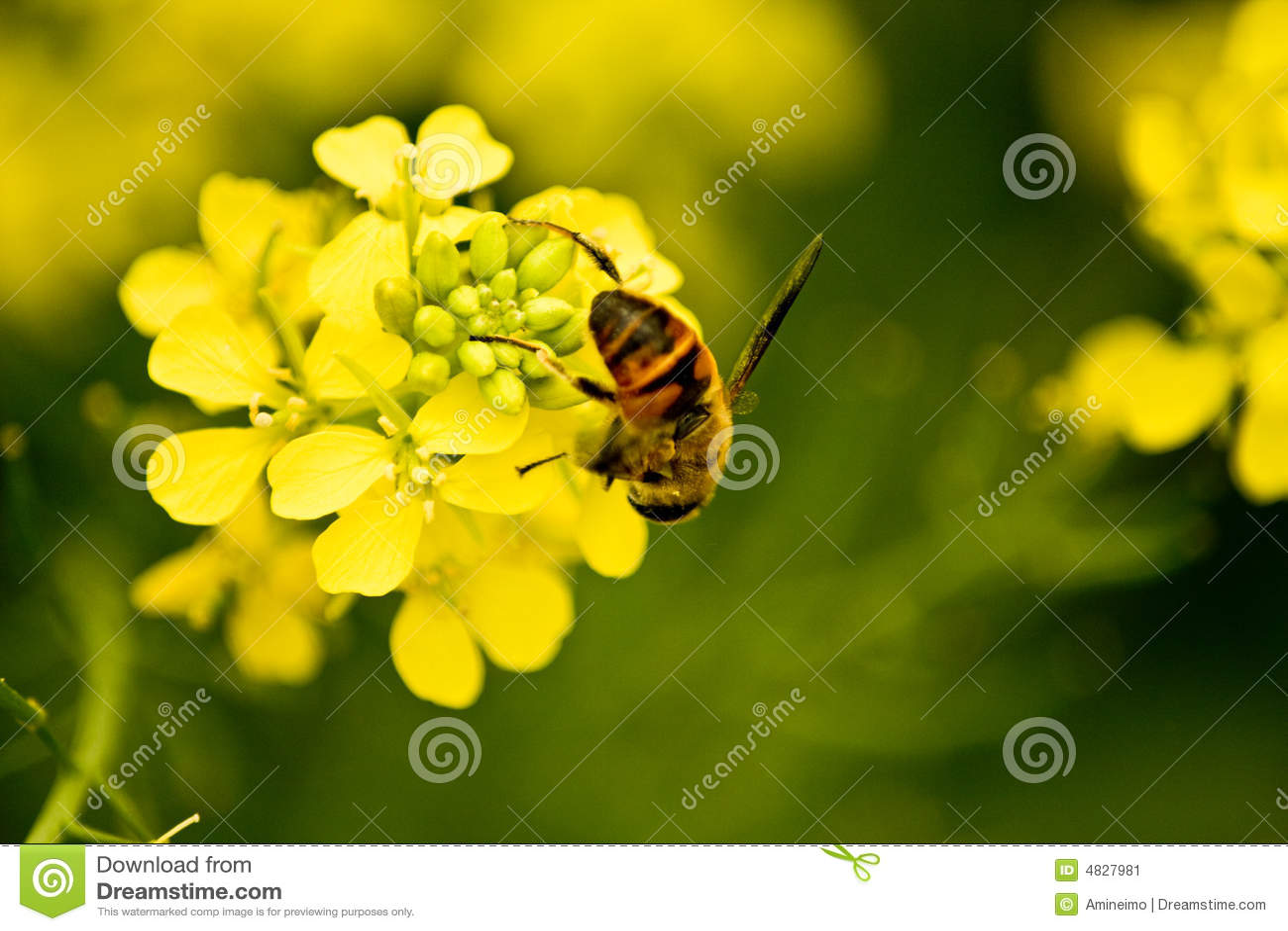 Raps und Biene