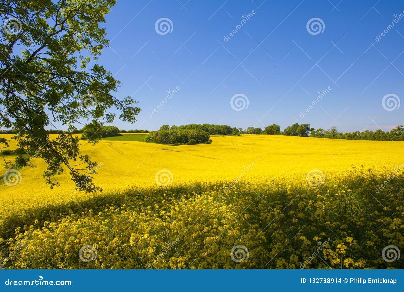 Rapsfröfält, västra Sussex, England