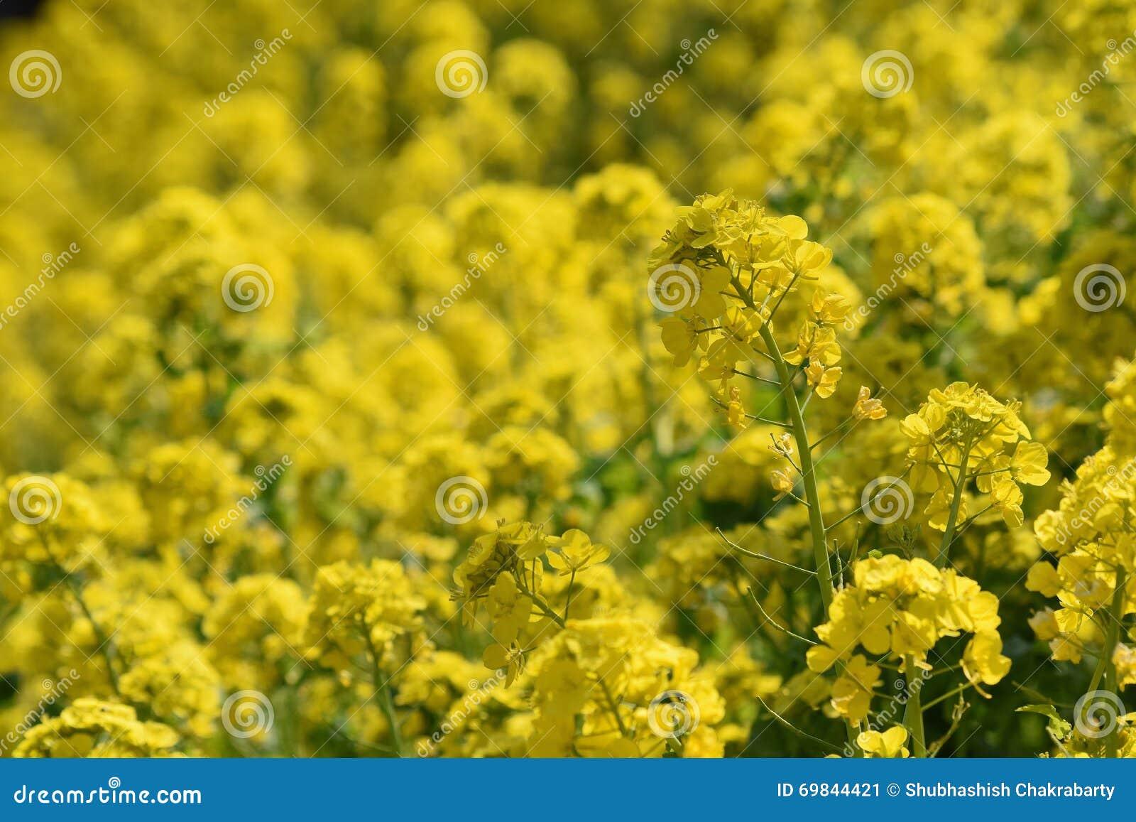 Rapsolja Eller Canola Blommar Det åkerbruka Fältet I Solig Dag