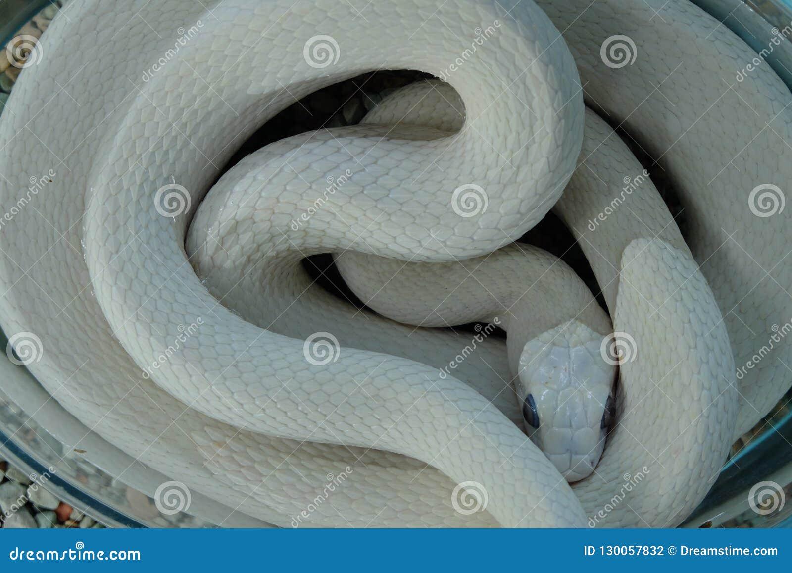 Rare Albino White Snake Hobby Stock Photo Image Of Snake White 130057832