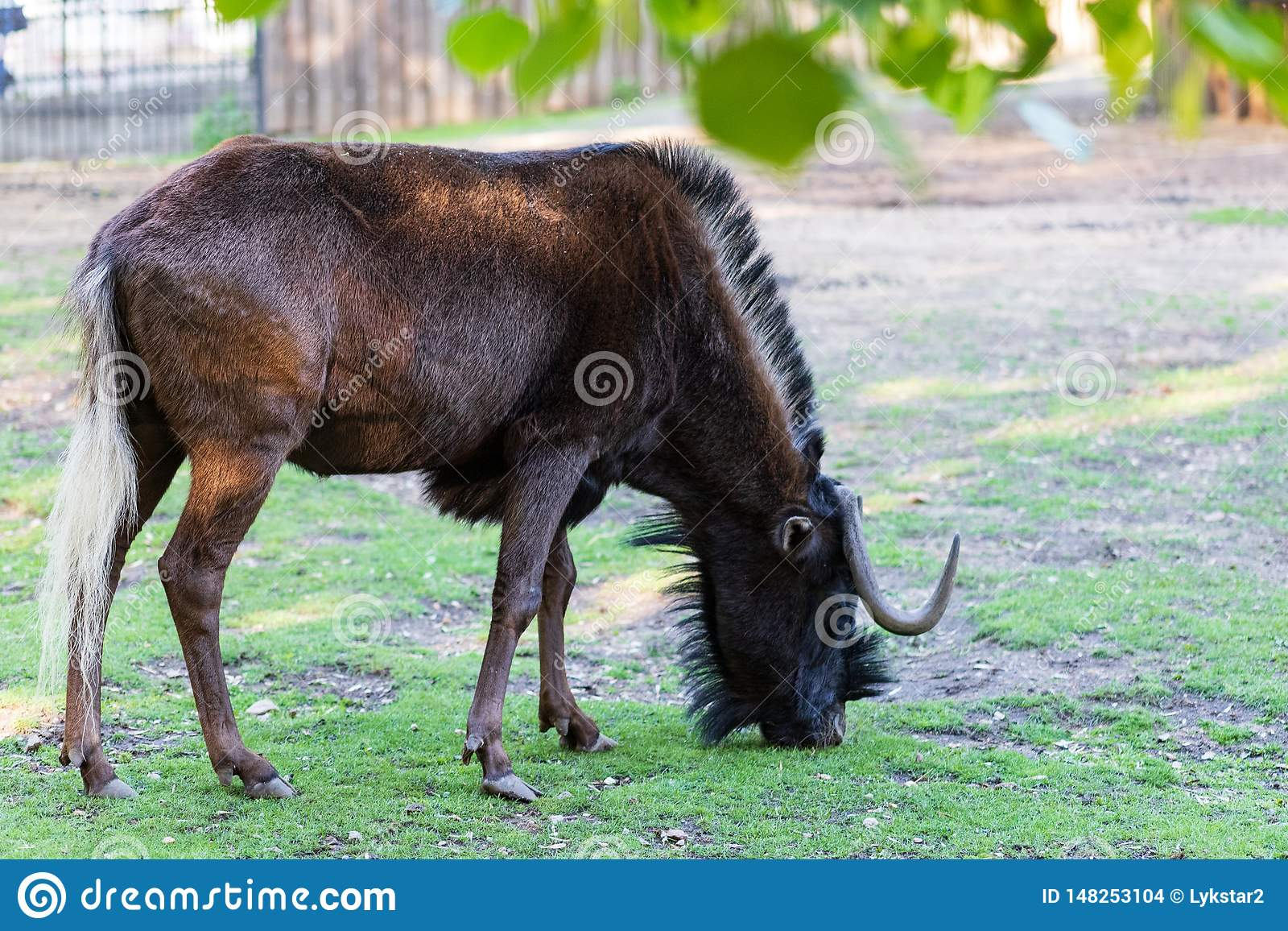 Rare animal white-tailed wildebeest peacefully nibbles the grass