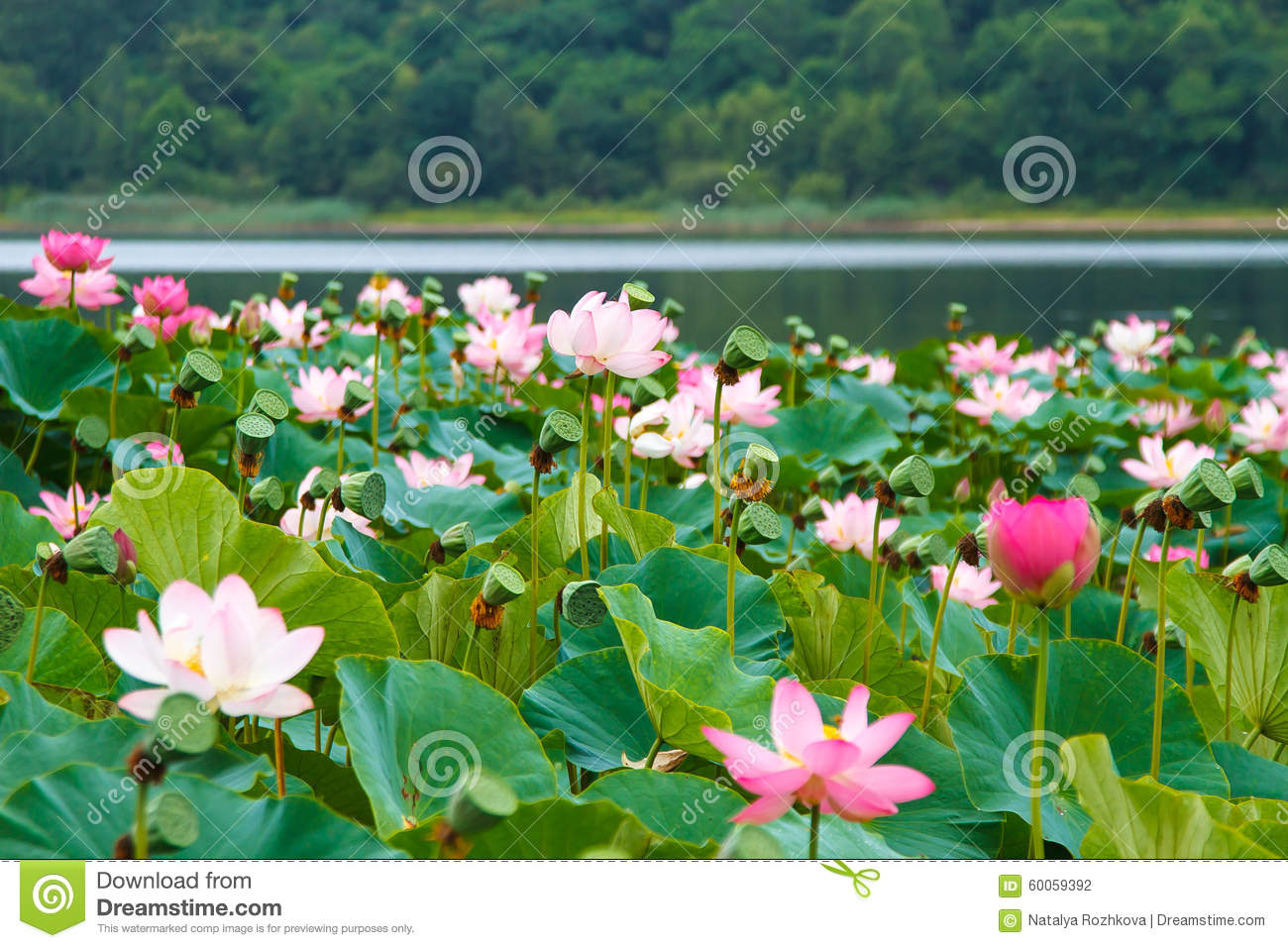Rare and beautiful lotus flowers stock photo image of lakes rare and beautiful lotus flowers izmirmasajfo