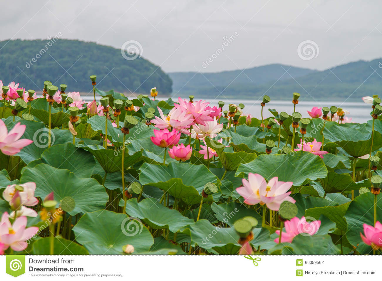 Rare and beautiful lotus flowers stock photo image of calm rare and beautiful lotus flowers izmirmasajfo