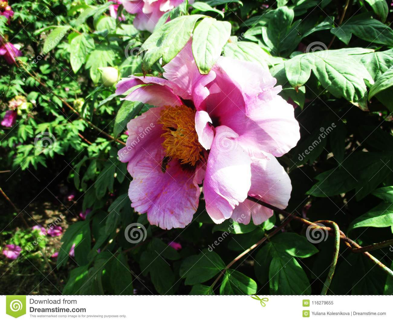 Rare beautiful pink flowers blooming in the botanical garden stock rare beautiful pink flowers blooming in the botanical garden izmirmasajfo