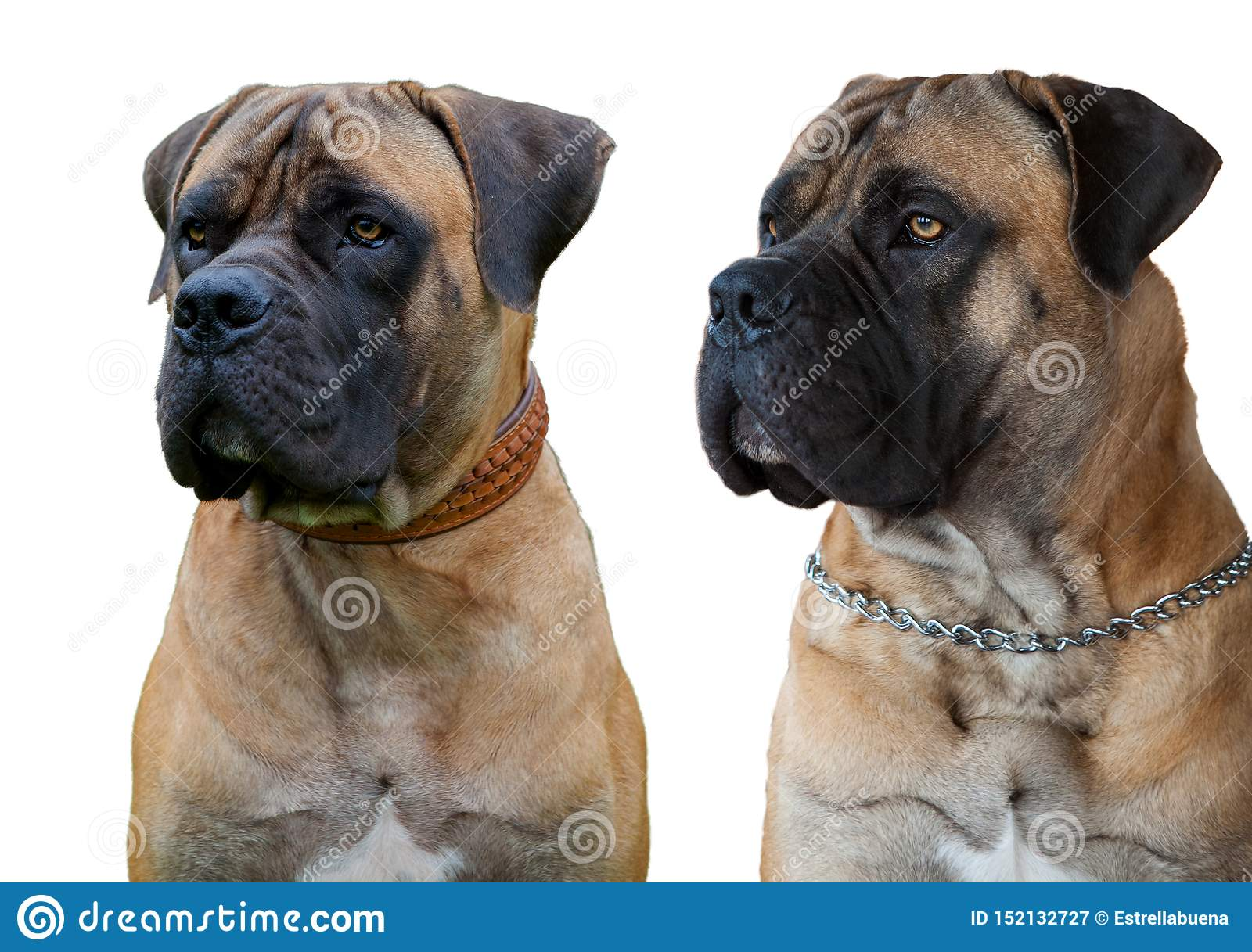 A Rare Breed Of Dog - The Boerboel South African Mastiff