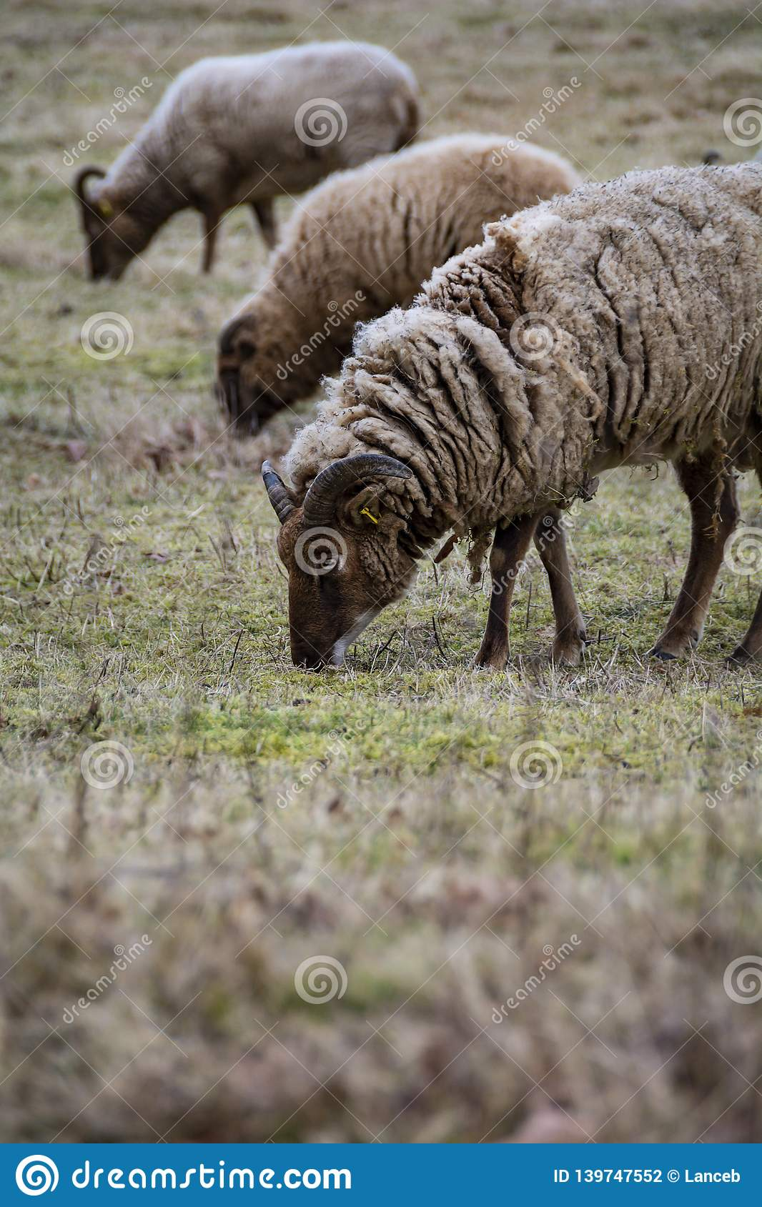 Rare breed of sheep grazing on grassland