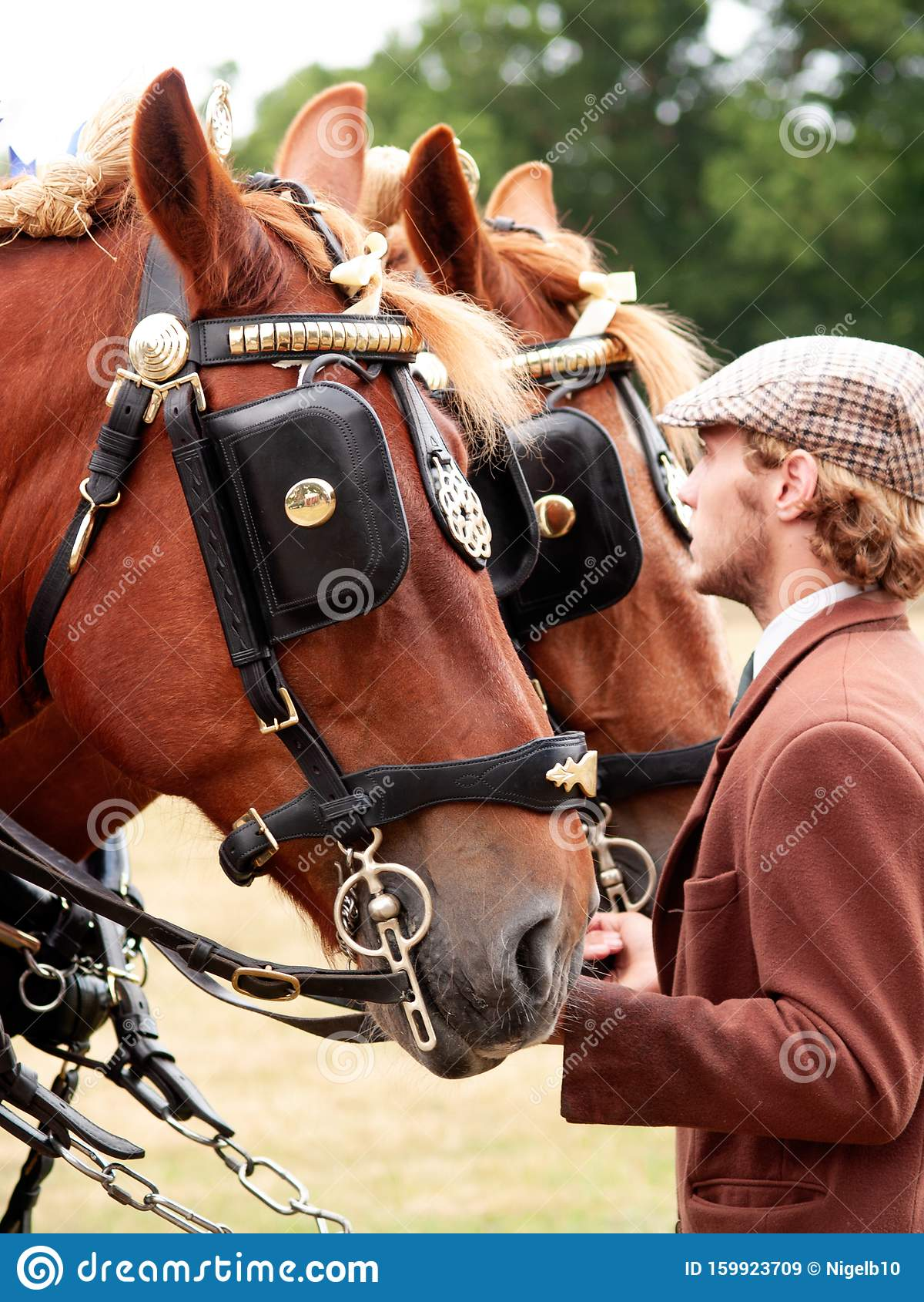 Suffolk Horse In Harness Editorial Stock Image  Image Of