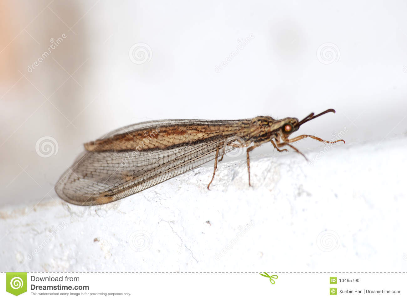 Rare brown lacewing