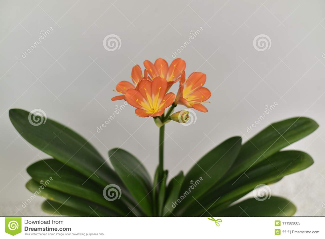 Rare clivia open in winter stock image image of flower 111383005 for the uezhu fumiyajunxiu of clivia red spider lily with a gentleman charm flowers such as orchids named noble of the meaning of clivia flower izmirmasajfo