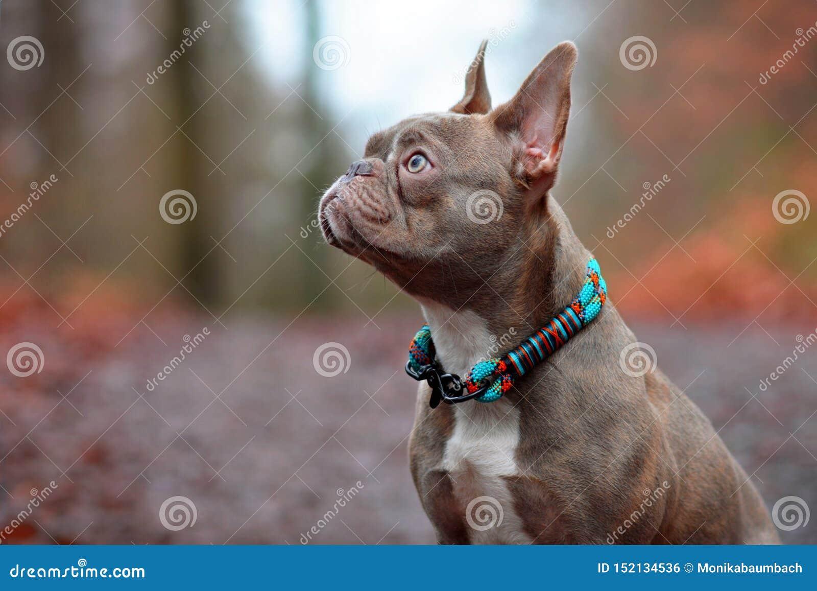 Lilac Brindle Female French Bulldog Dog With Light Amber
