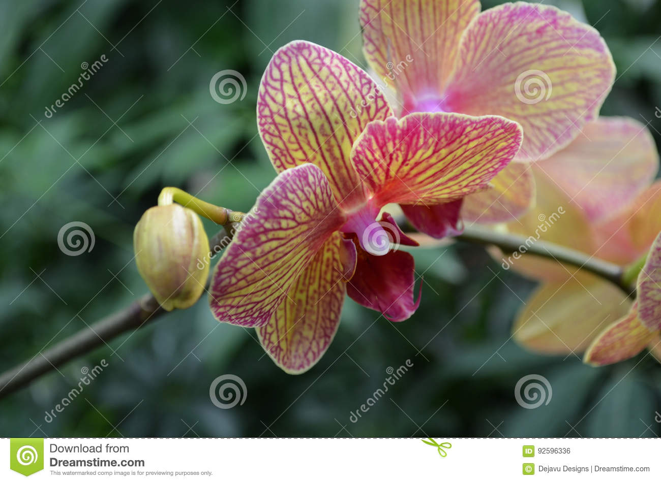 Rare garden orchid flower blooming into a beautiful flower stock download rare garden orchid flower blooming into a beautiful flower stock photo image of pink izmirmasajfo
