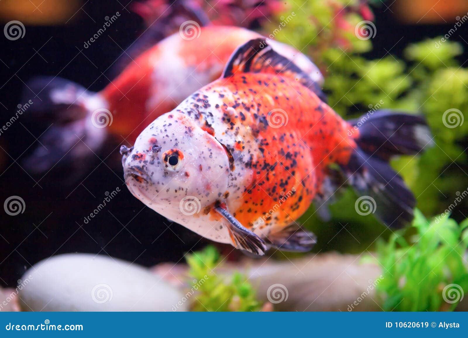 Rare Goldfish Stock Image Image Of Beautiful Fish Rare