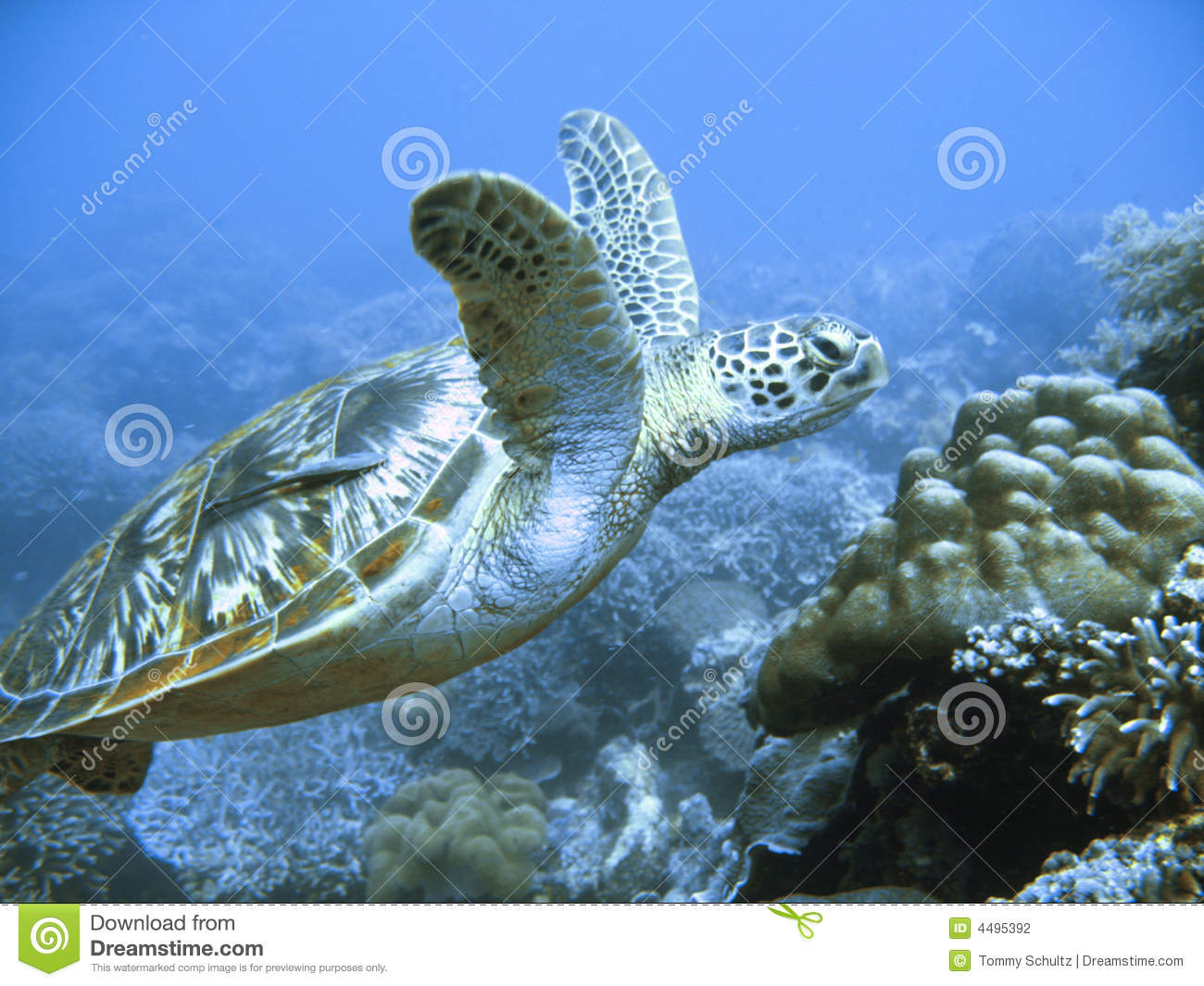 Download Rare green sea turtle stock photo. Image of easy, ocean - 4495392