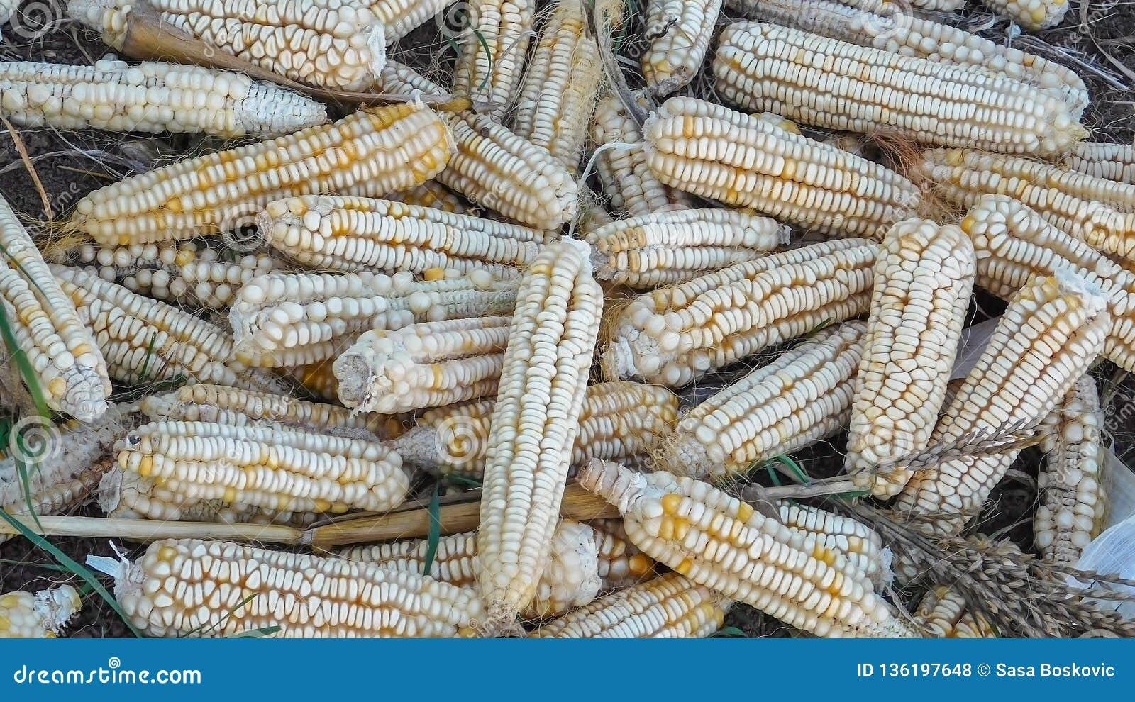 Rare Heirloom White Dent Corn