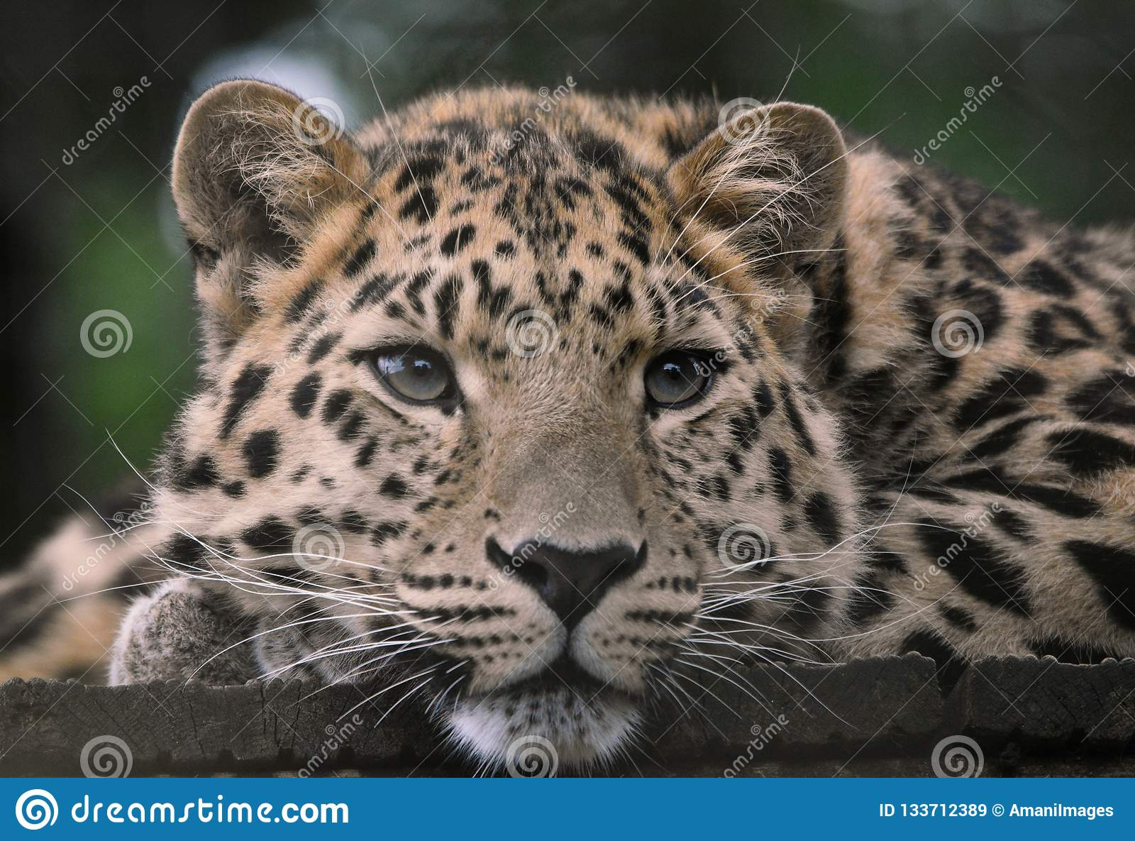 Amur Leopard with wistful eyes