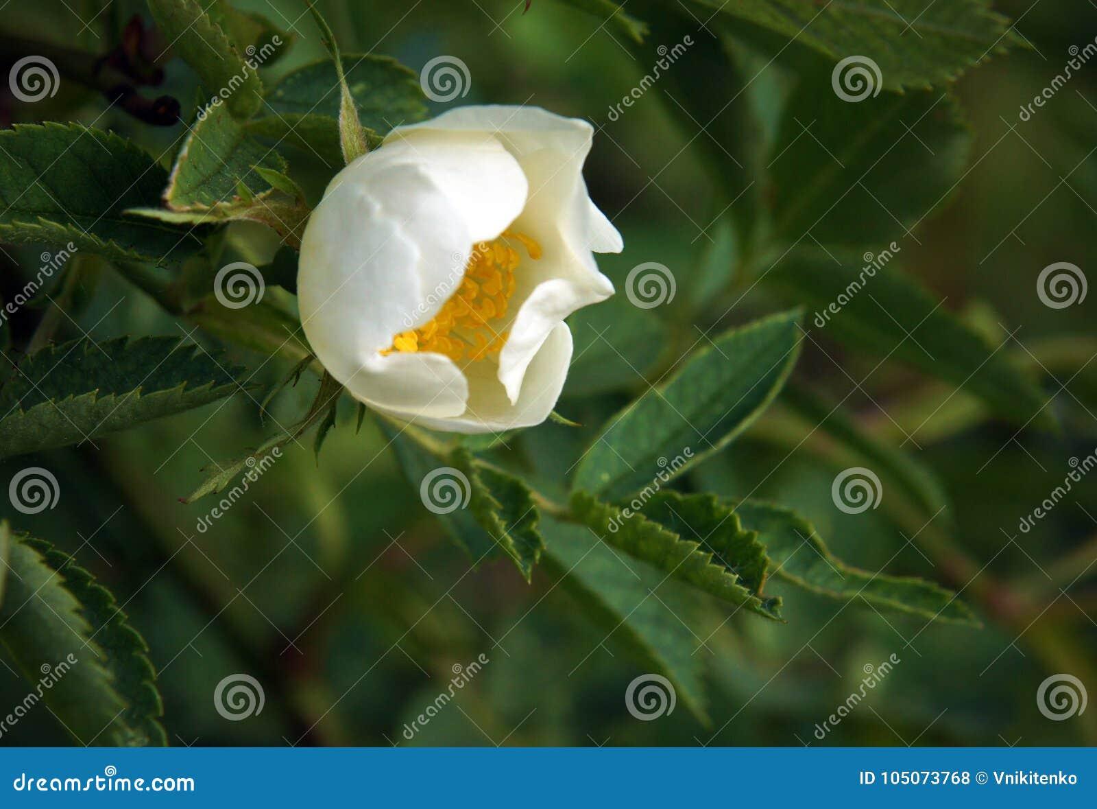 White Flowers Of Dog Rose Stock Photo Image Of Beauty 105073768