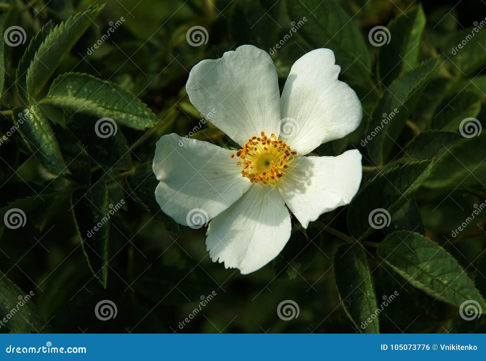 White Flowers Of Dog Rose Stock Photo Image Of Canina 105073776