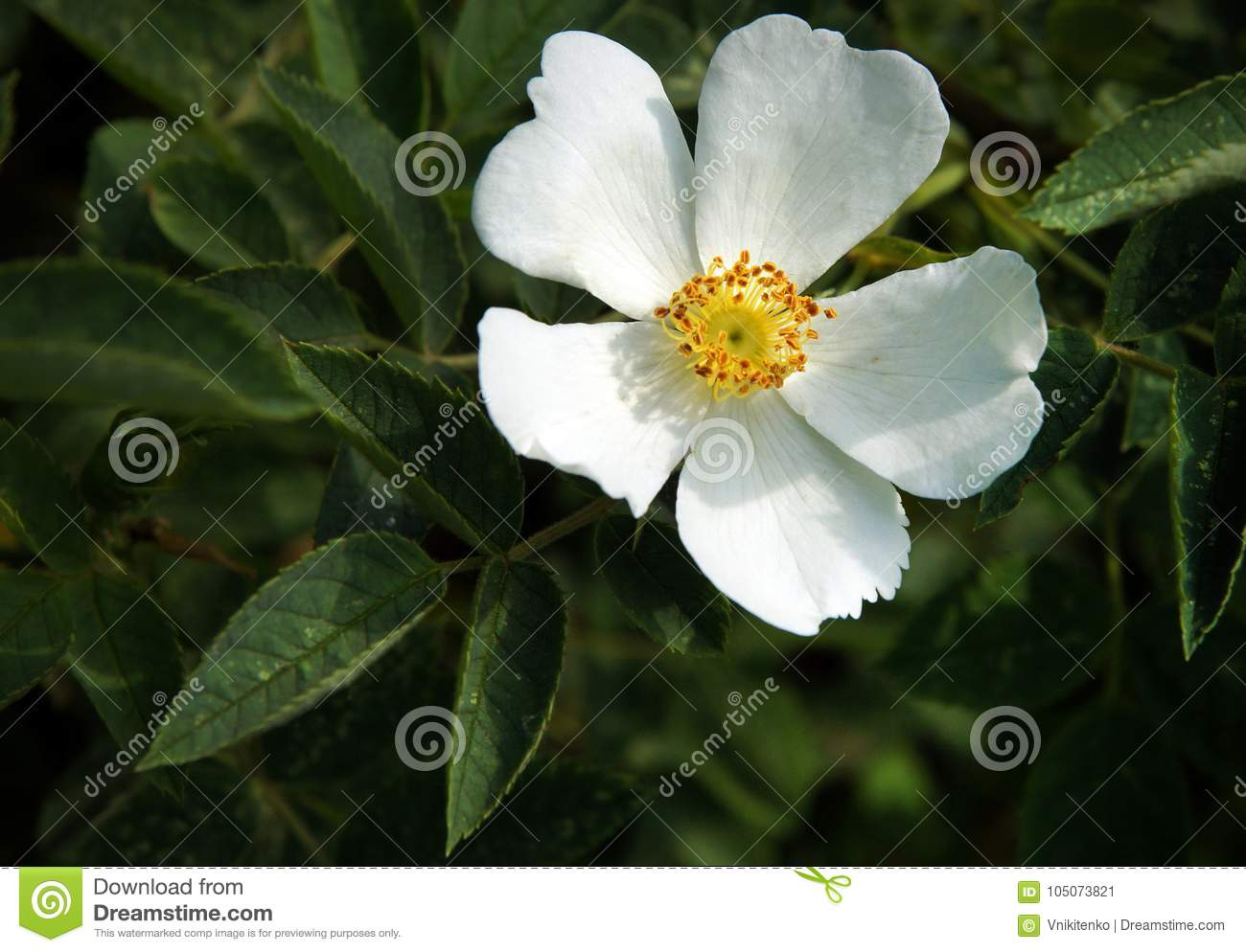 White Flowers Of Dog Rose Stock Image Image Of Natural 105073821